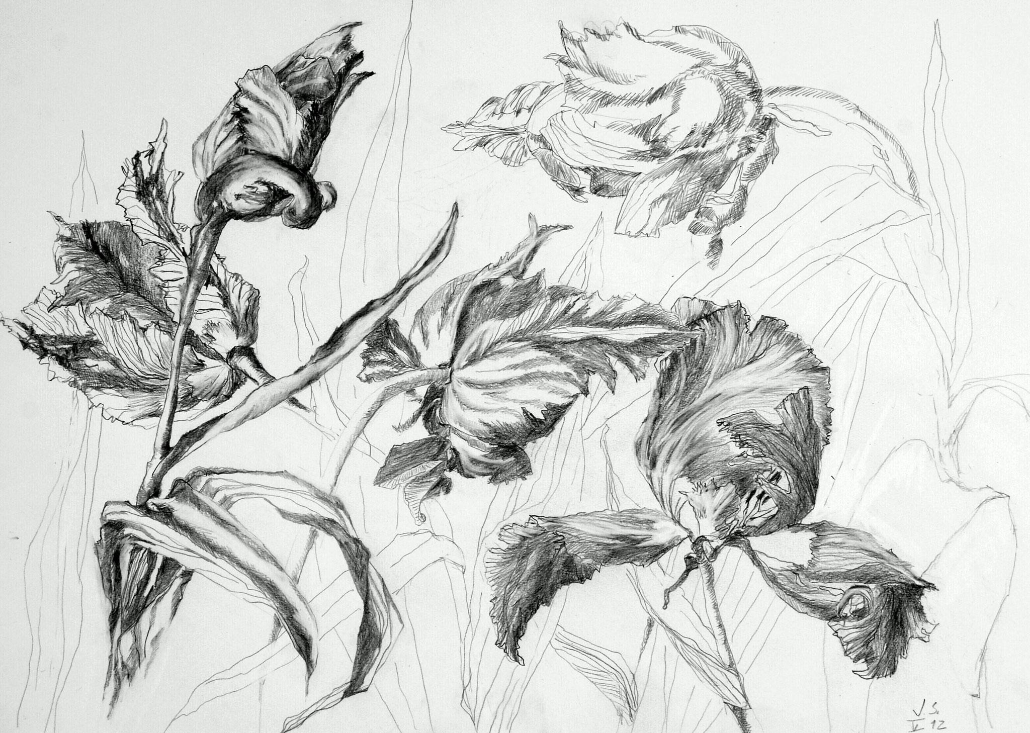 Eine französiche Tulpe, 2012, Bleistift auf Papier, 42 x 59 cm