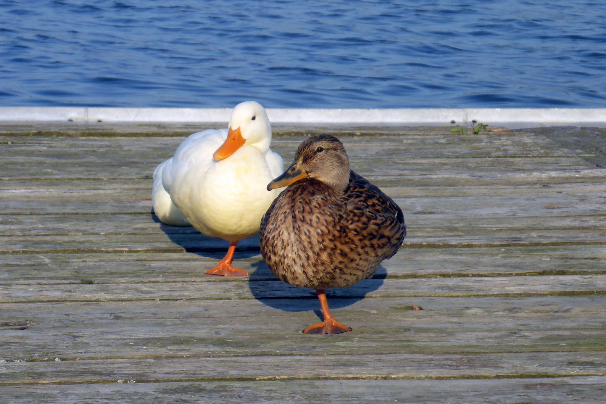 Die Enten warten schon.