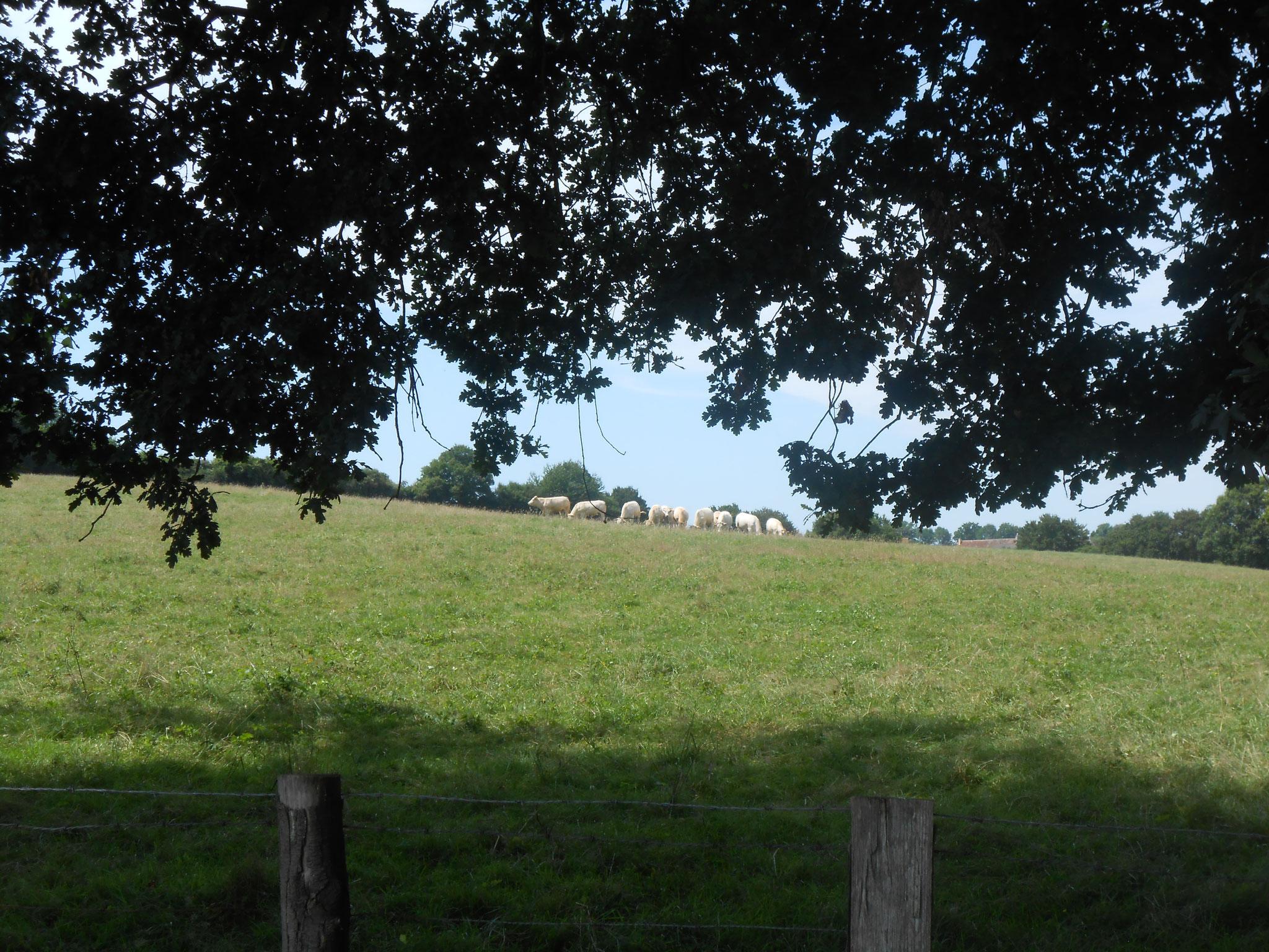 Les vaches, que vous pourrez appercevoir de la maison ou en randonnée..
