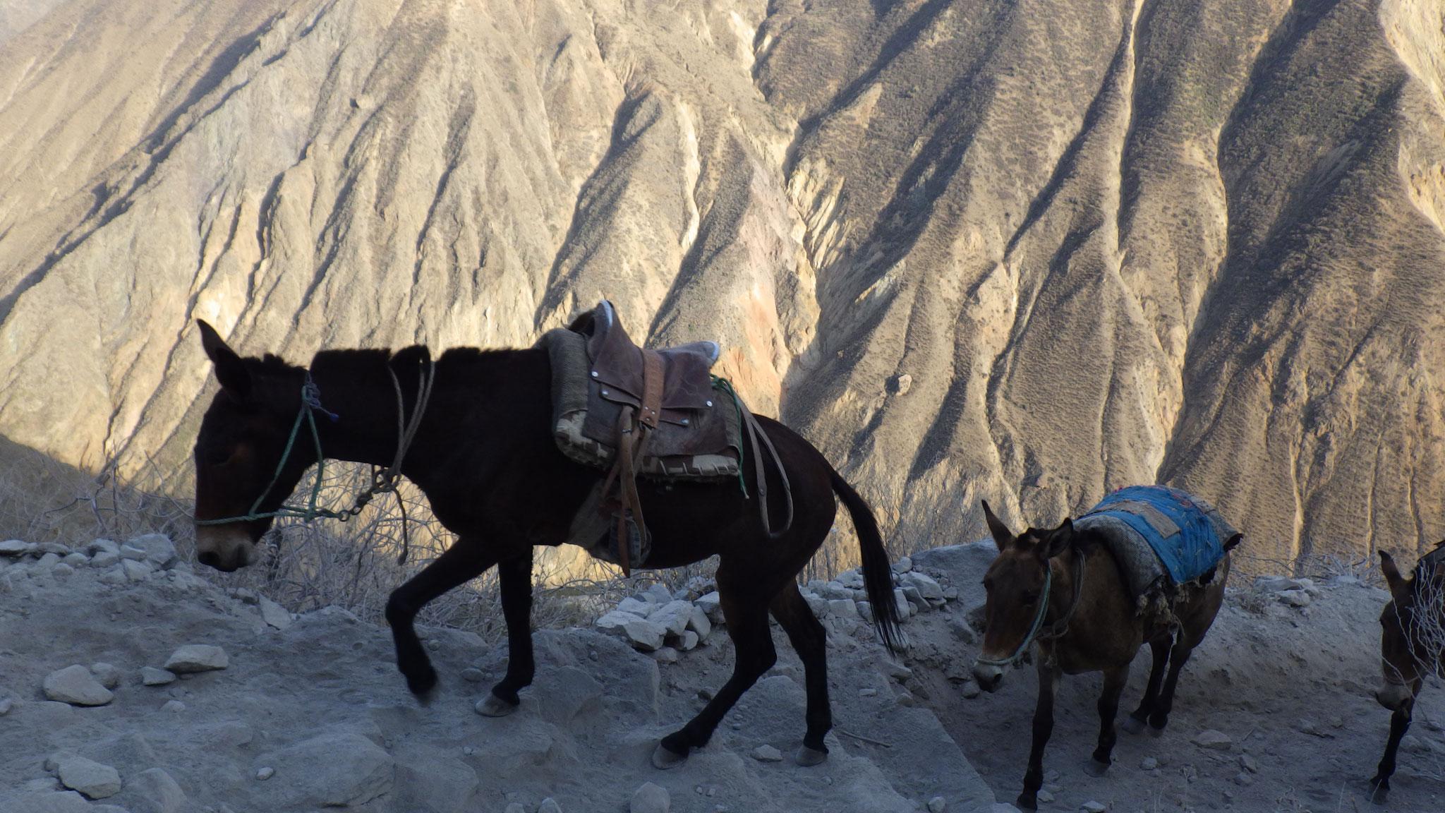 Mules pour porter les choses lourdes
