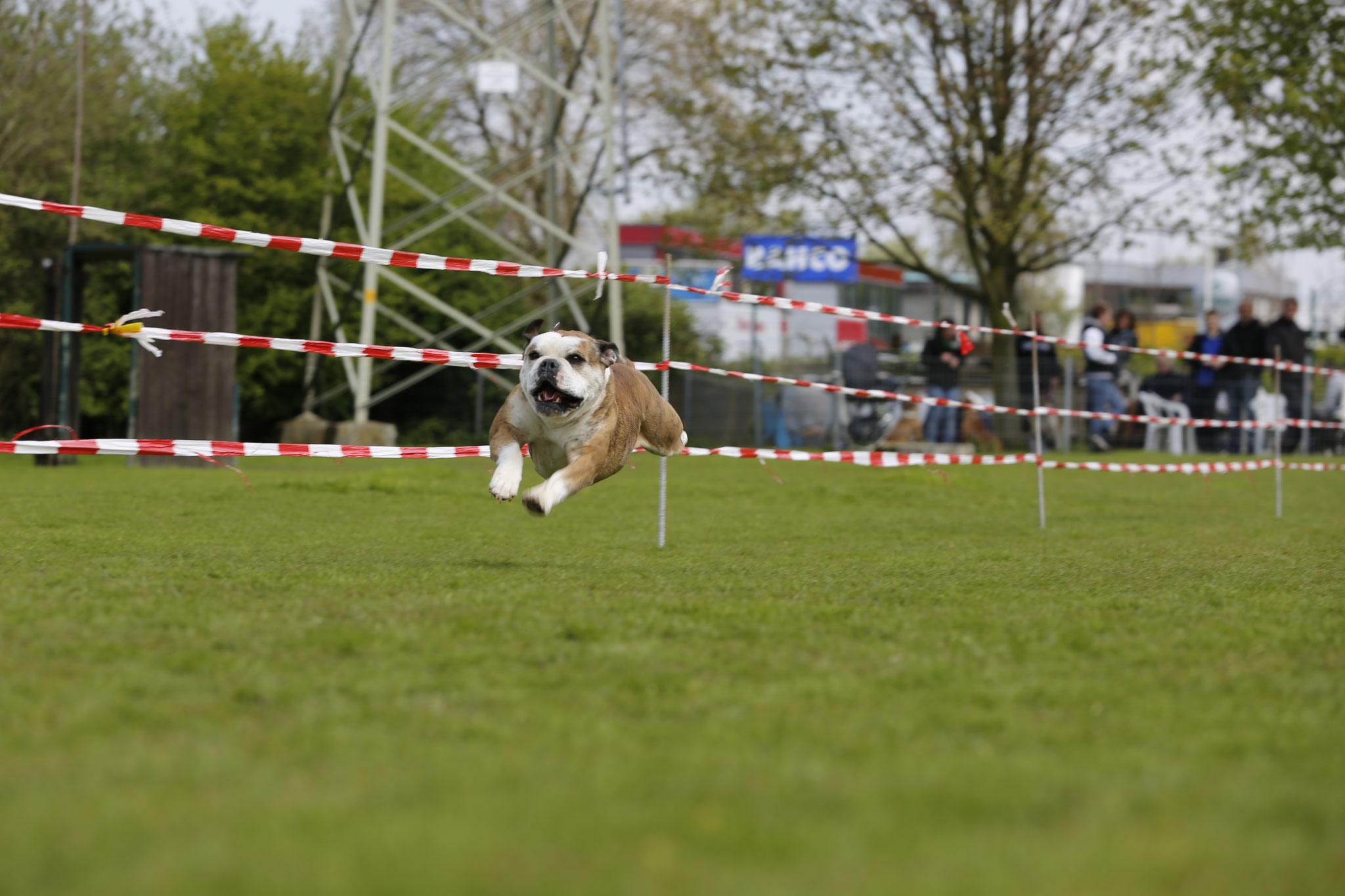 Continental Bulldog Conties Bijoux Bijoux beim 3. Bullyrennen in Dortmund