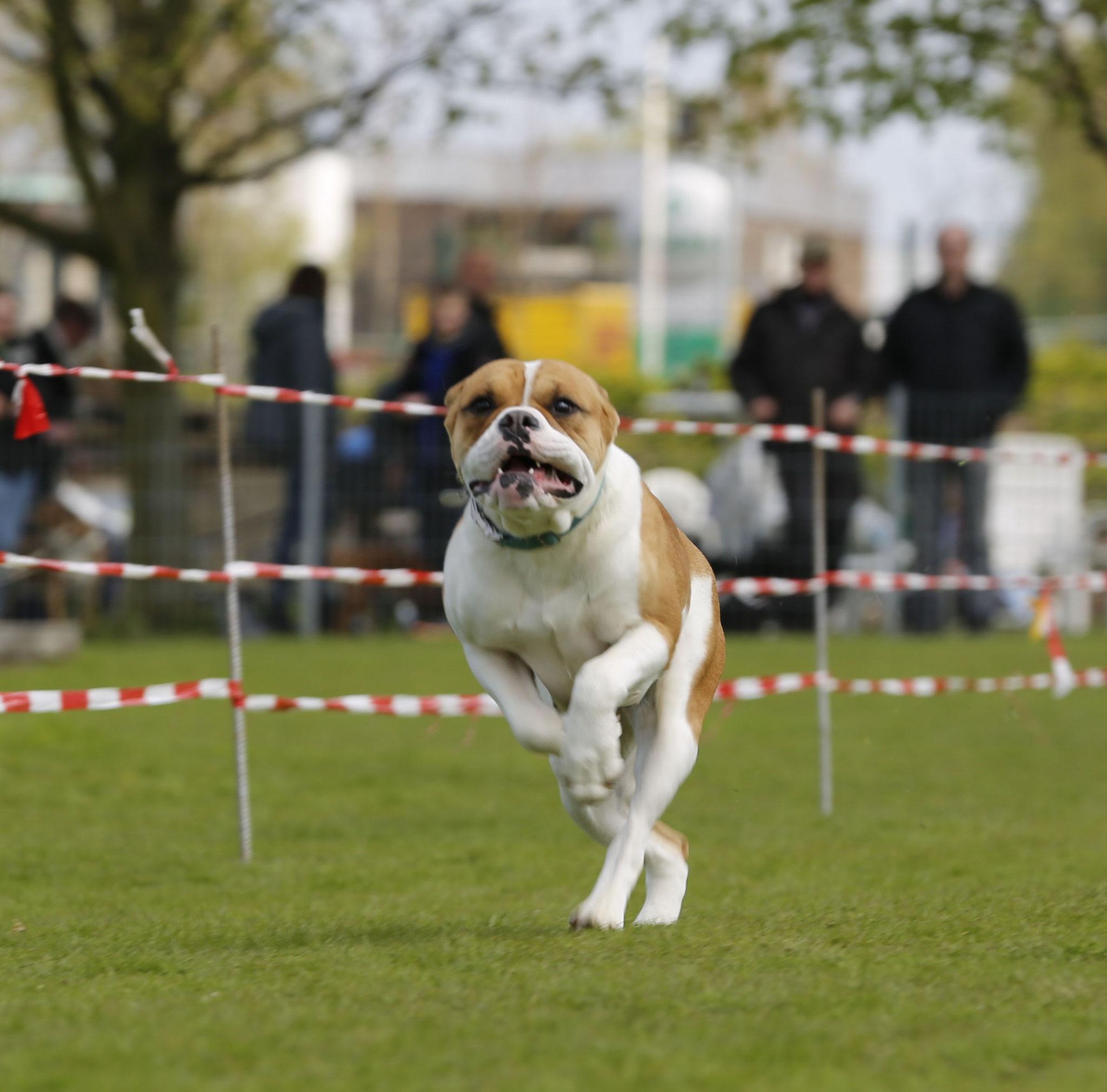 Continental Bulldog Pickwick RosaLee beim 3. Bullyrennen in Dortmund
