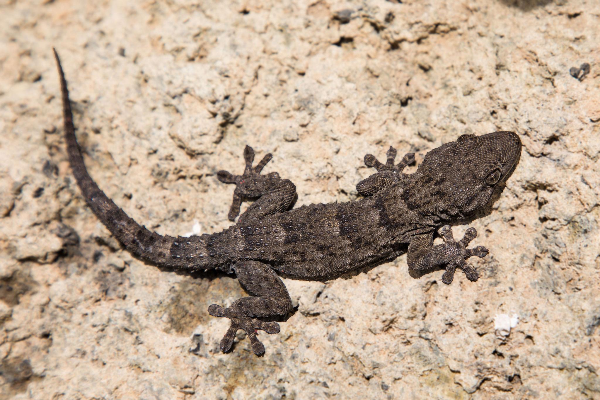 Teneriffa-Gecko (Tarentola delalandii)
