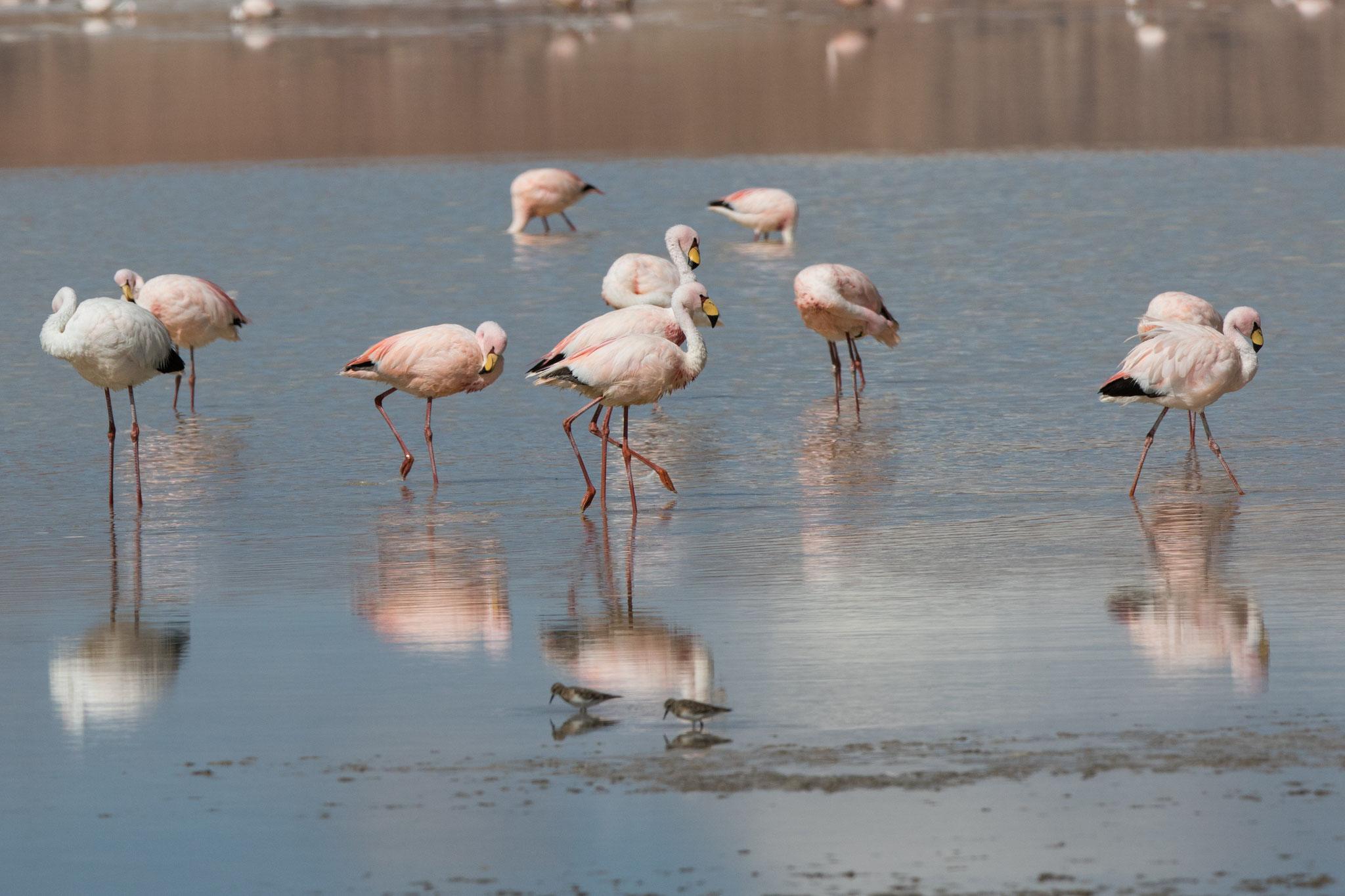 Jamesflamingos an der Laguna Grande