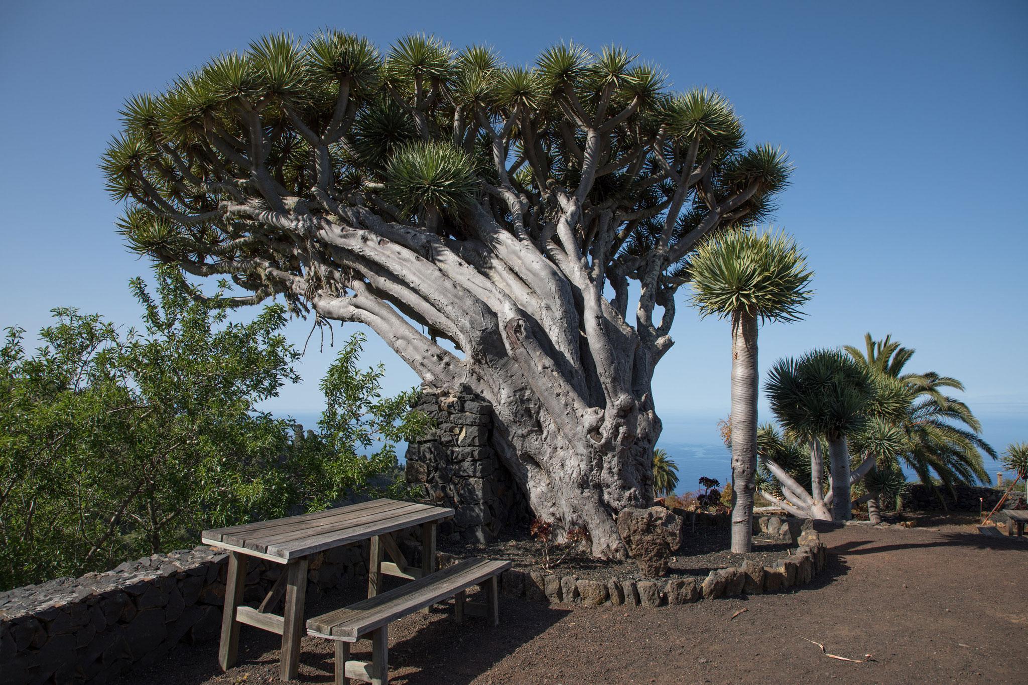 Der berühmteste Drachenbaum der Insel