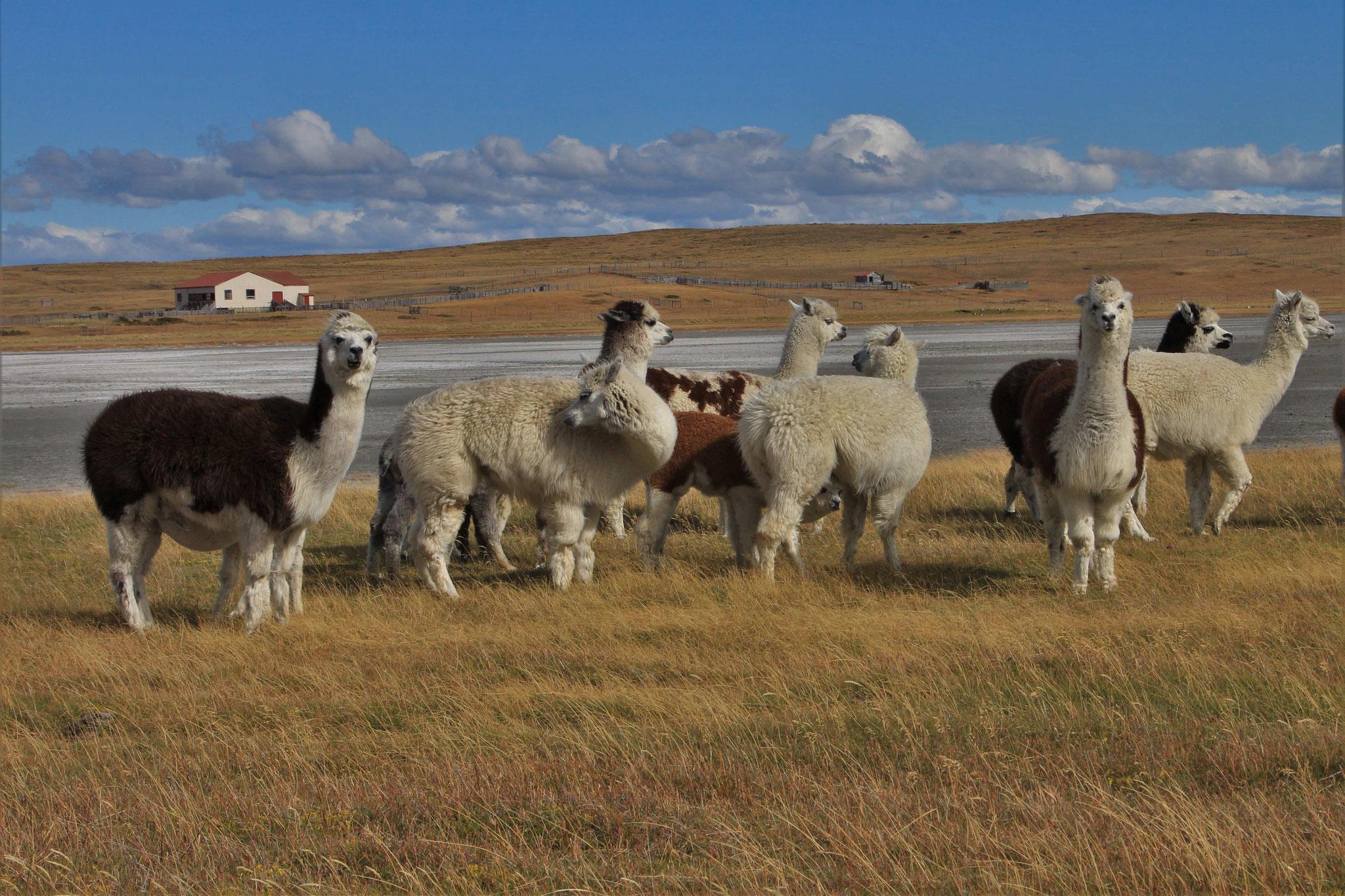 Lamas - Feuerland