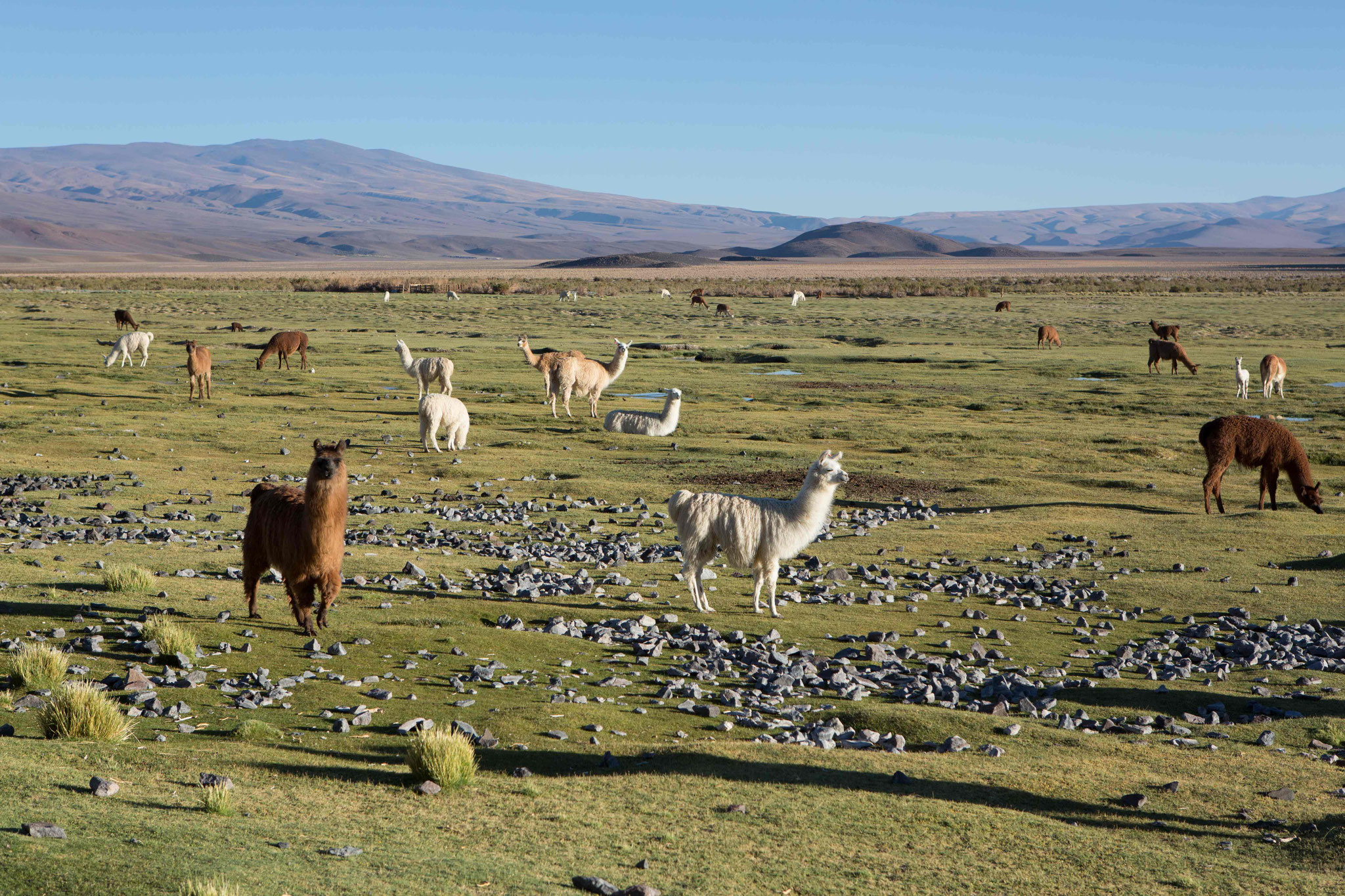Lamas bei Antofagasta