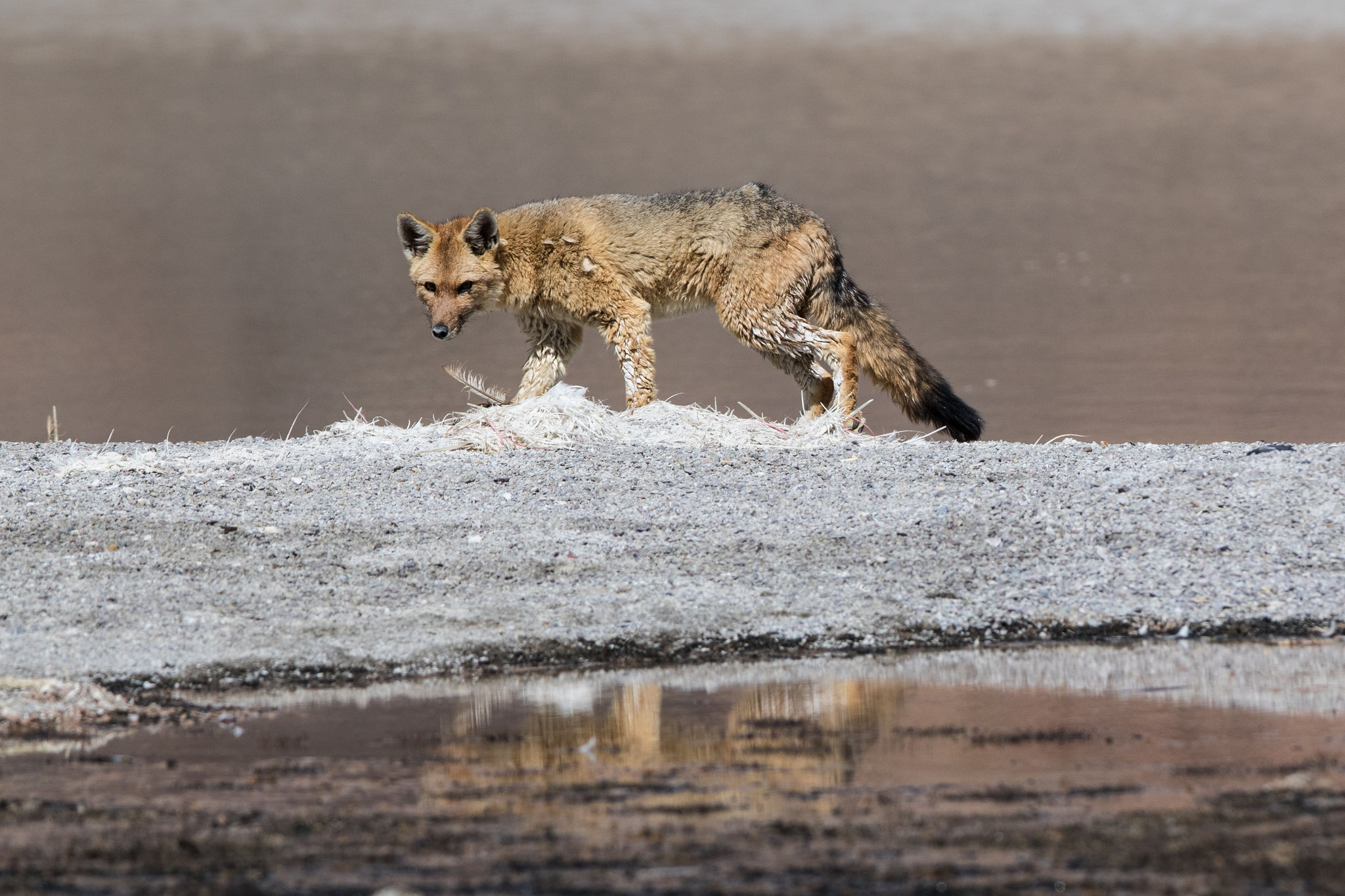 Wüstenfuchs an der Laguna Grande