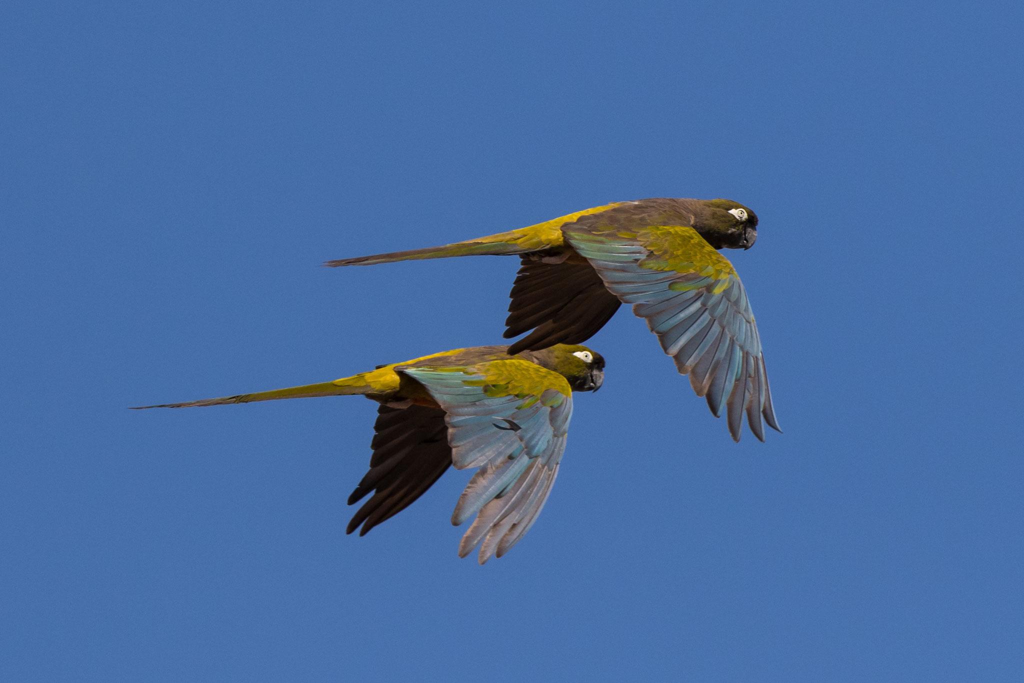 Papageien im Flug - Cachi