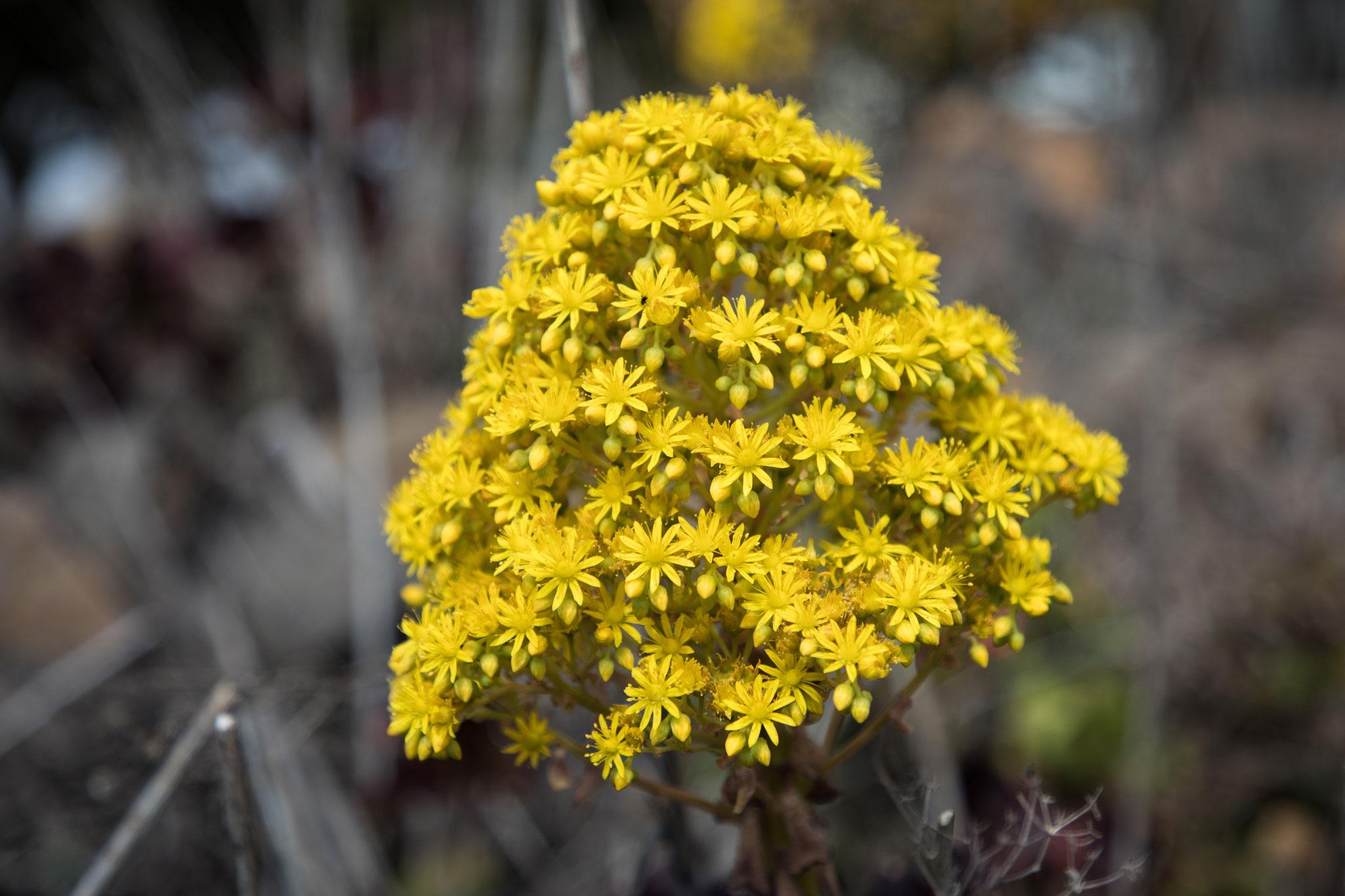 Aeoniumblüte