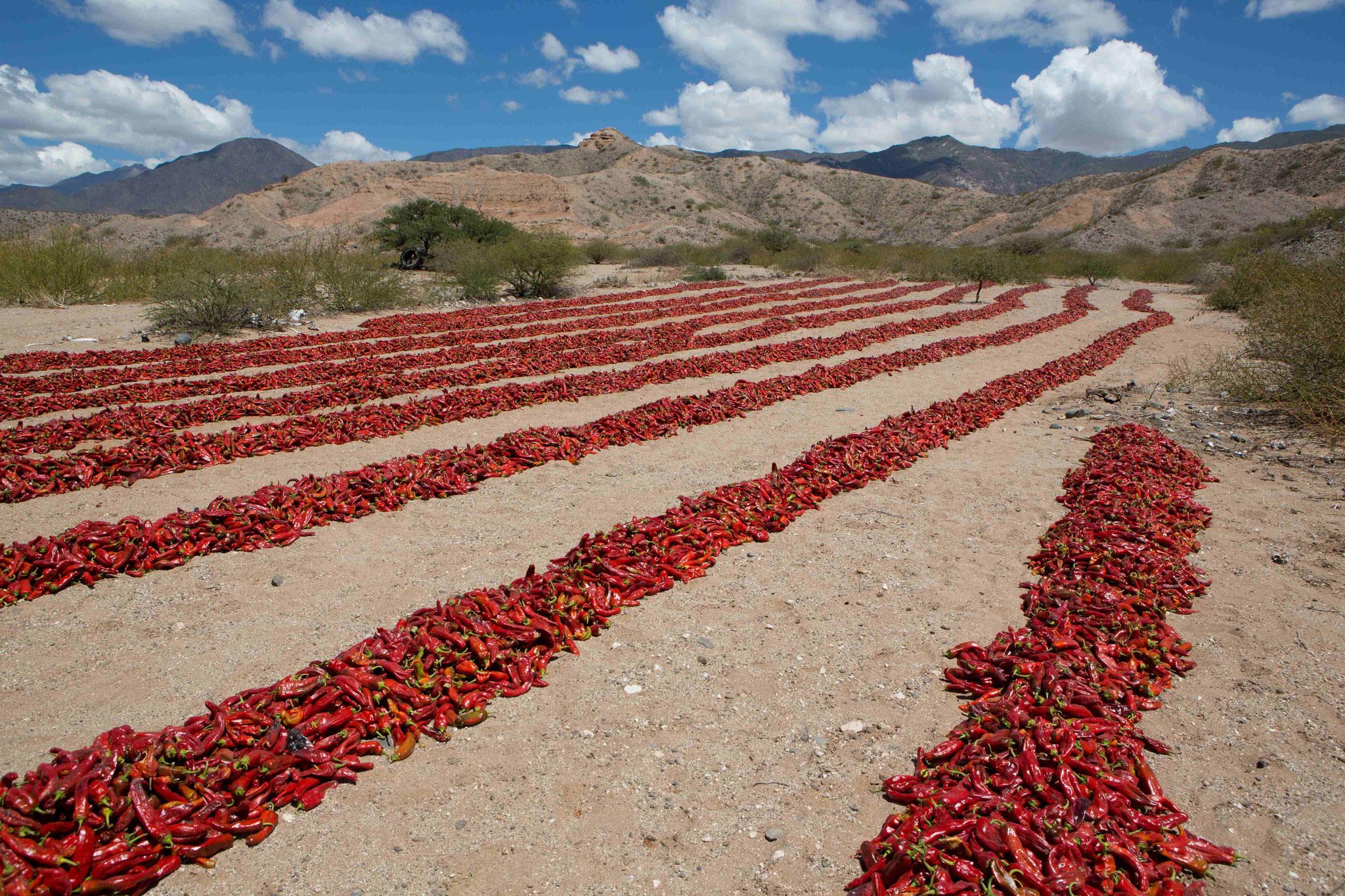 Paprika zum Trocknen aufgelegt