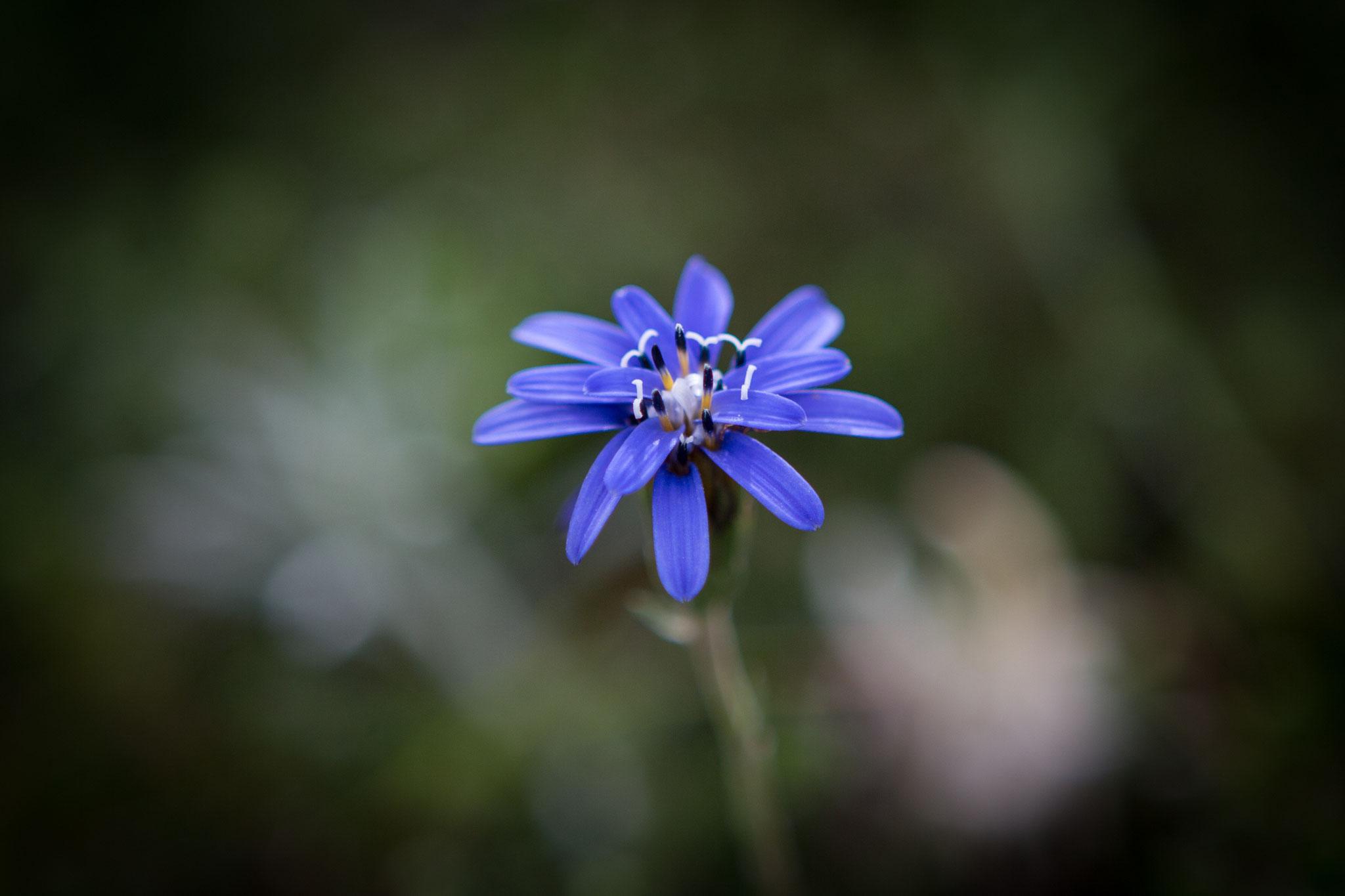 Perezia Azul (Fuegian Edelweiss)