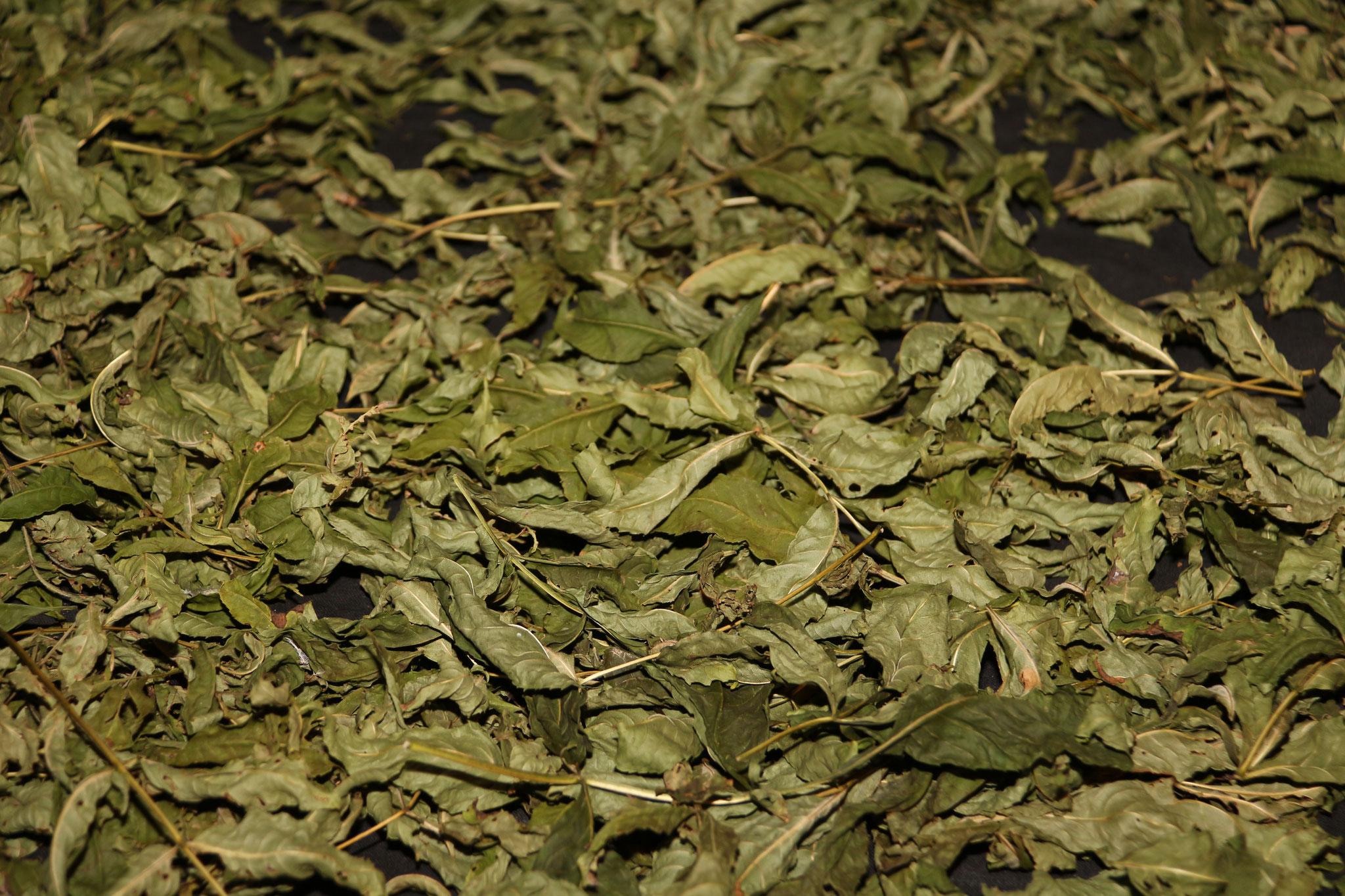 2 - Séchage des feuilles