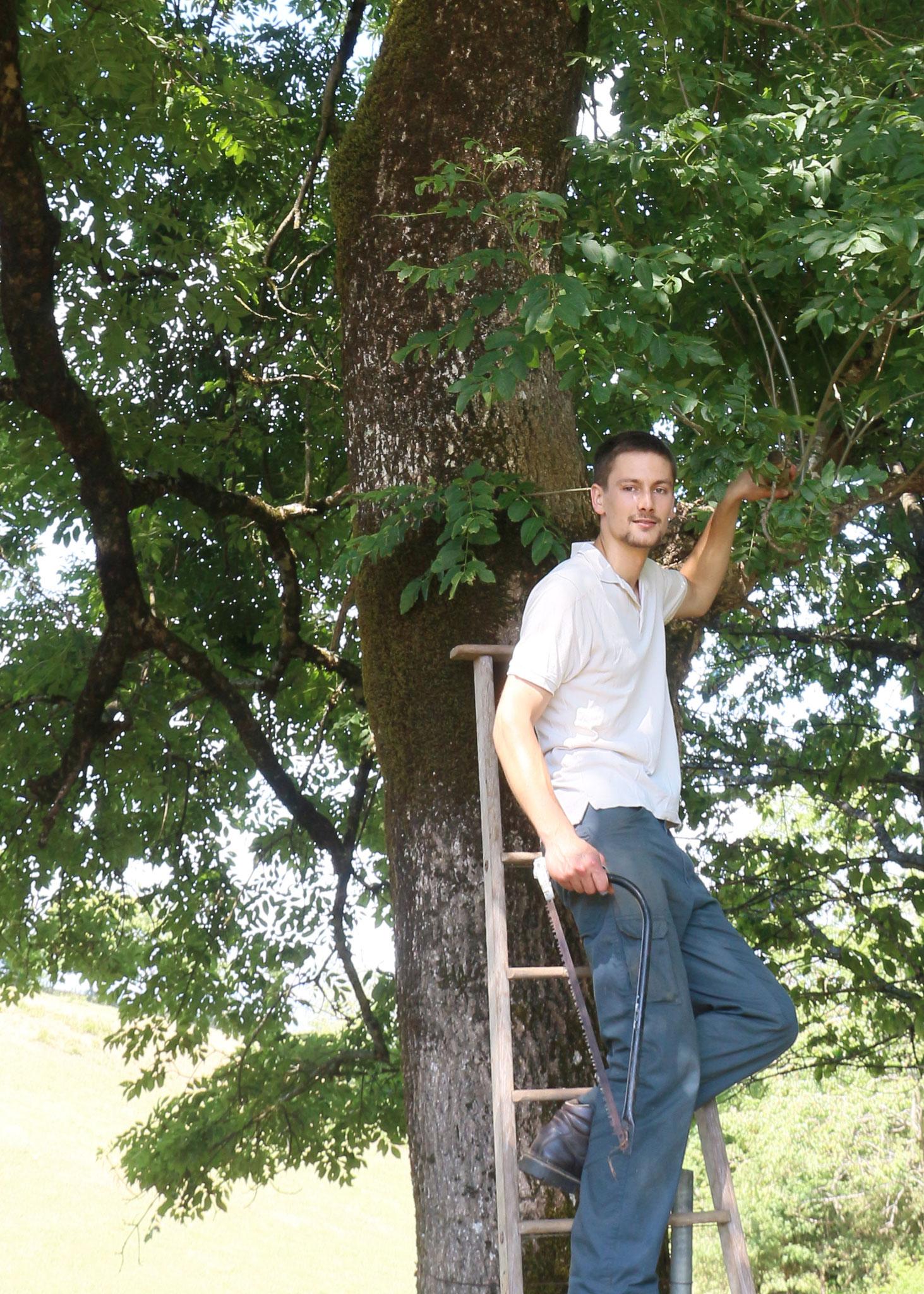 1 - Récolte des feuilles de frêne