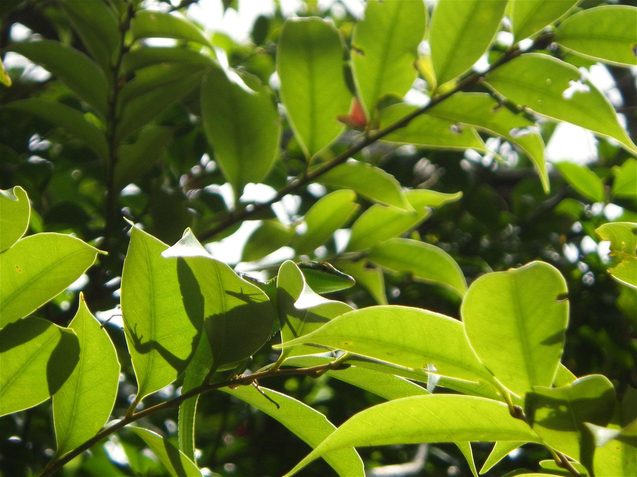サキシマカナヘビ(西表島)