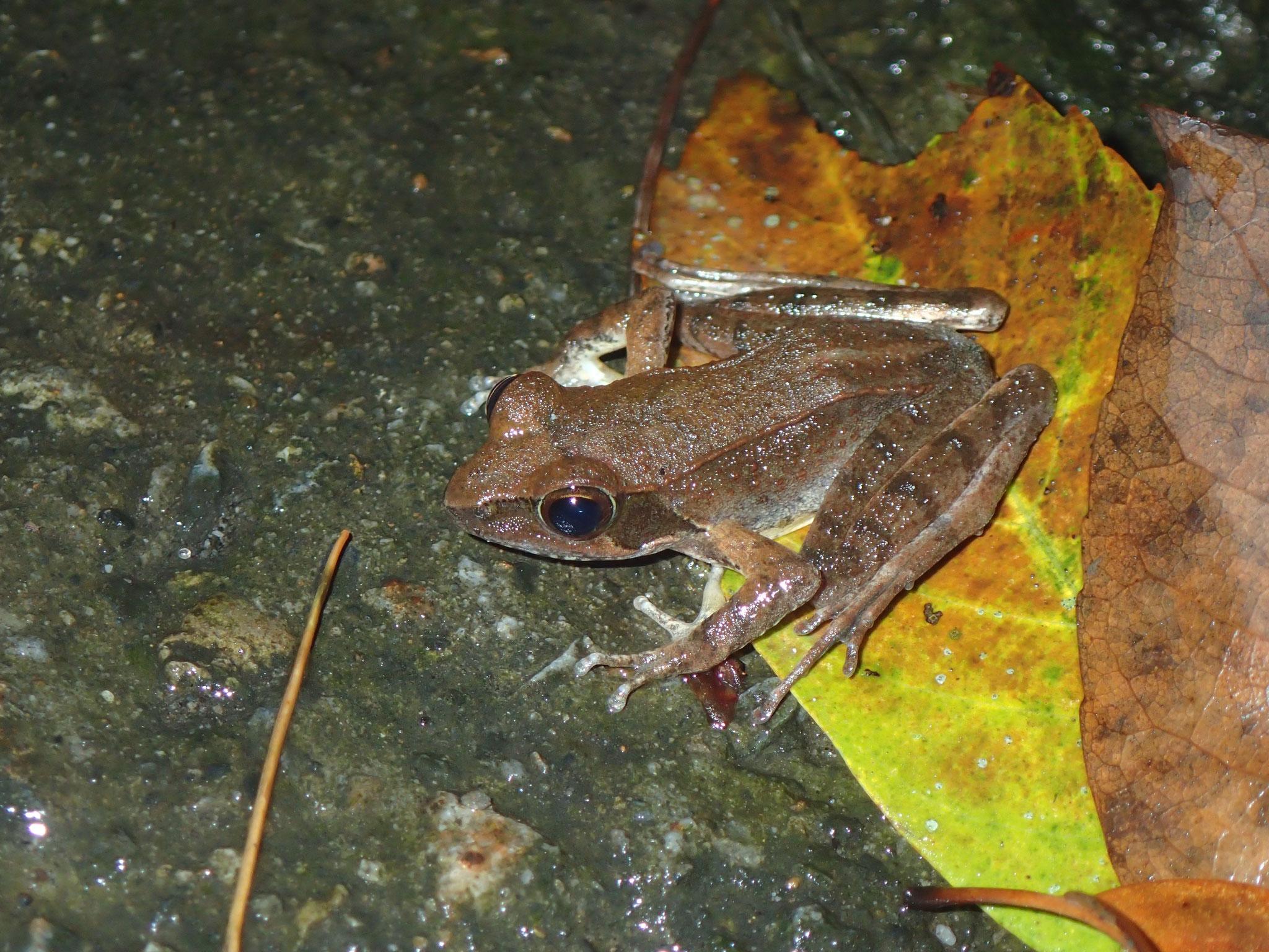 Rana longicrus(台湾 谷関)