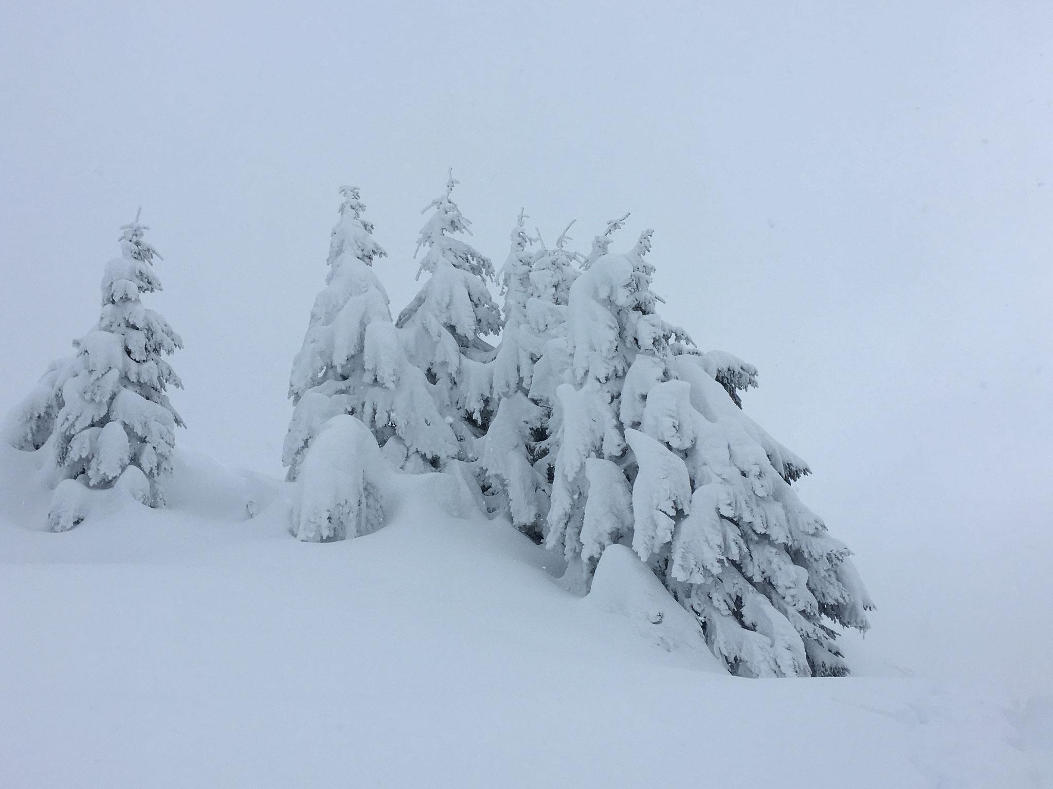 Carte postale de grosse chutes de neige ! Les épicéas sont chargés !