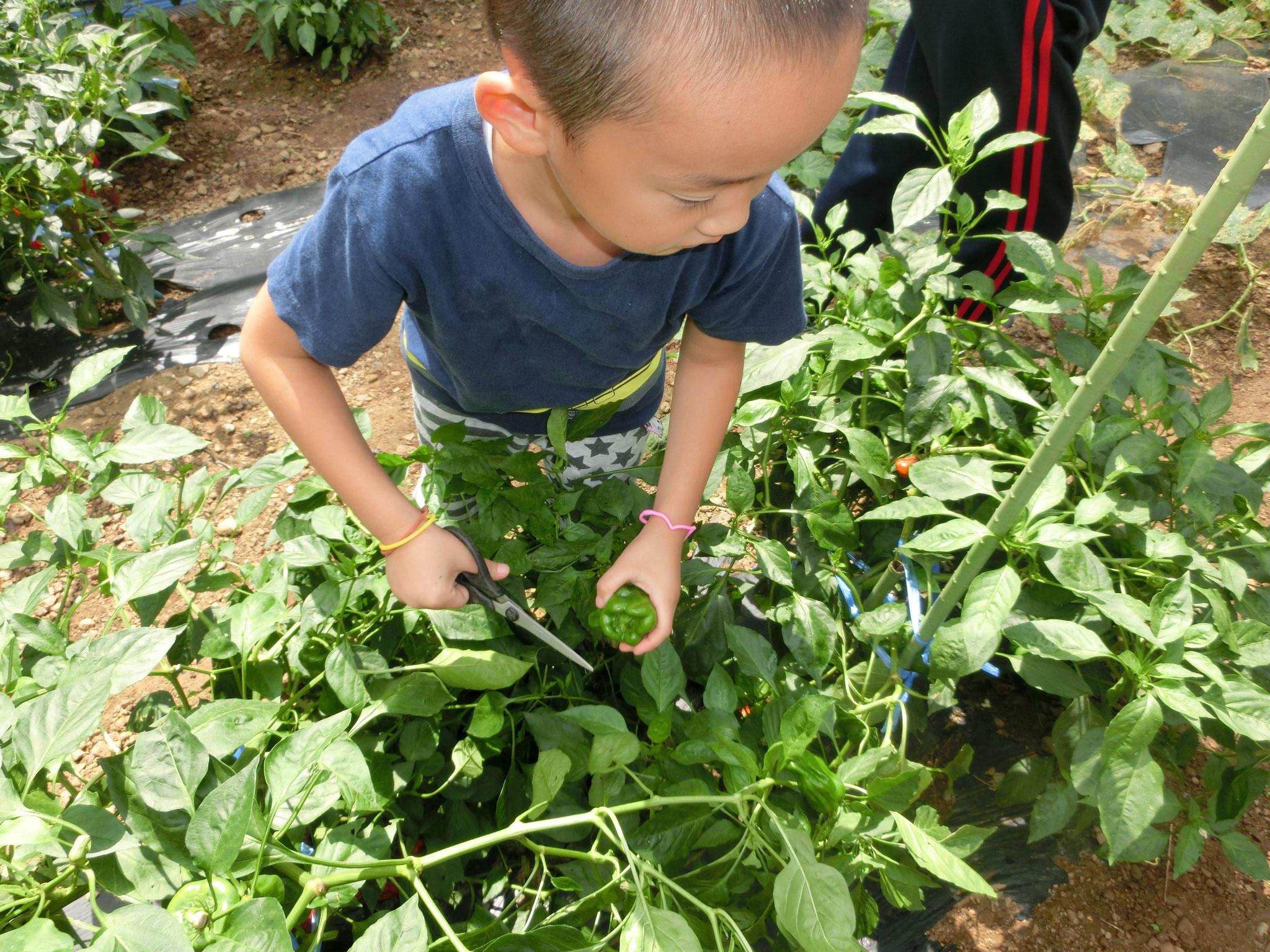 作物はトマト・きゅうり・ピーマン・etc、食べ放題