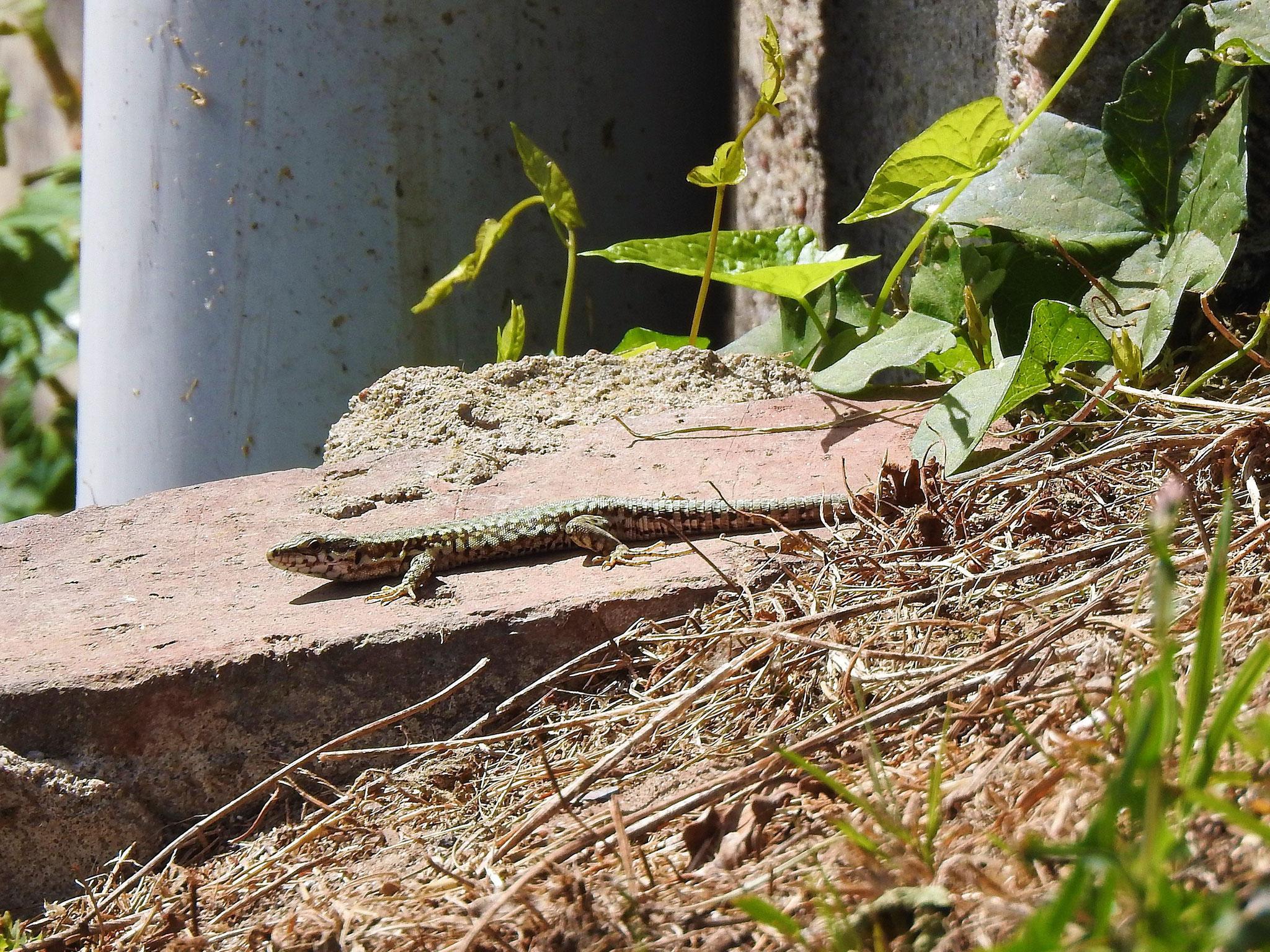 Mauereidechse, Männchen mit marmorierter Rückenfärbung. 7. Juli 2020, Winsen ©: D. Westphal
