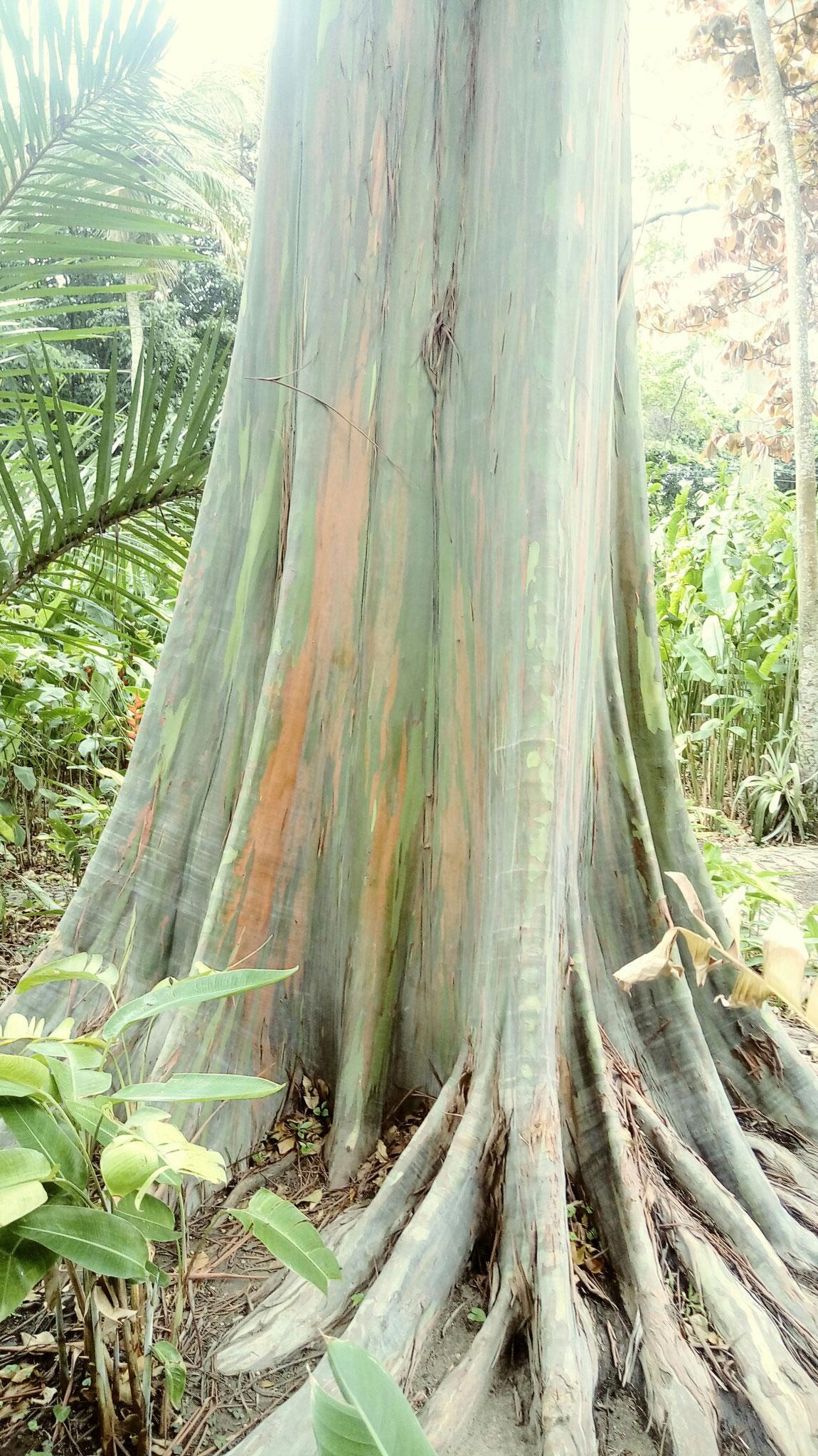Eucalyptus Arc en Ciel du site Burle Marx