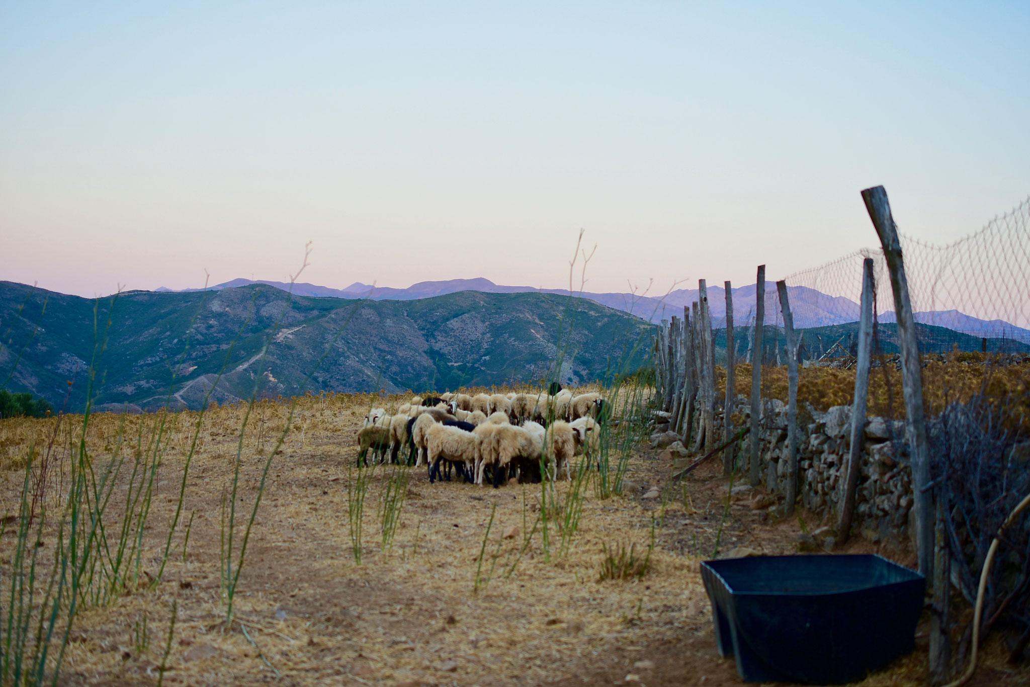 頻繁にみかけた山羊の放牧。頭数からして、超小規模生産である。
