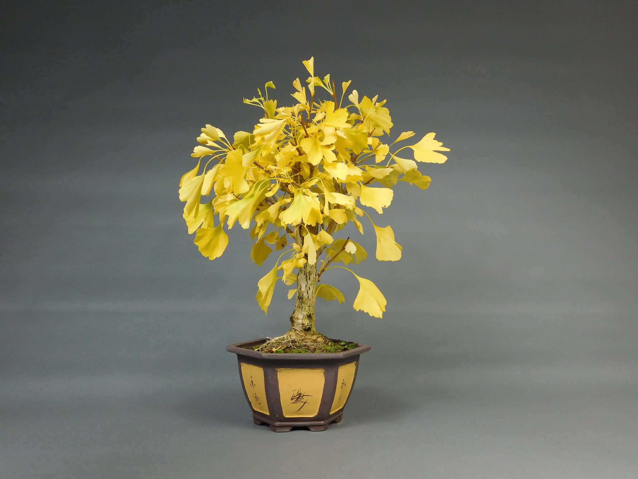 Fächerblattbaum, Ginkgo biloba