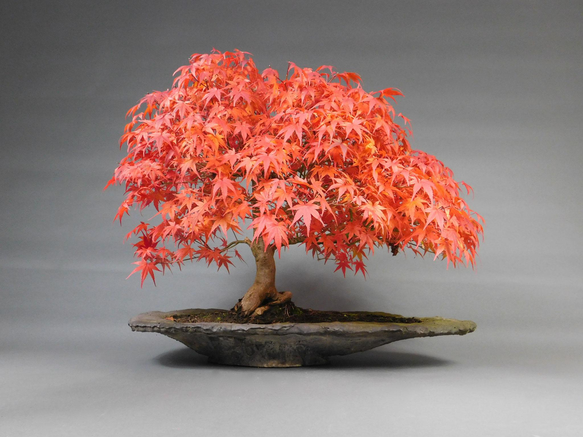 Fächerahorn, Acer palmatum