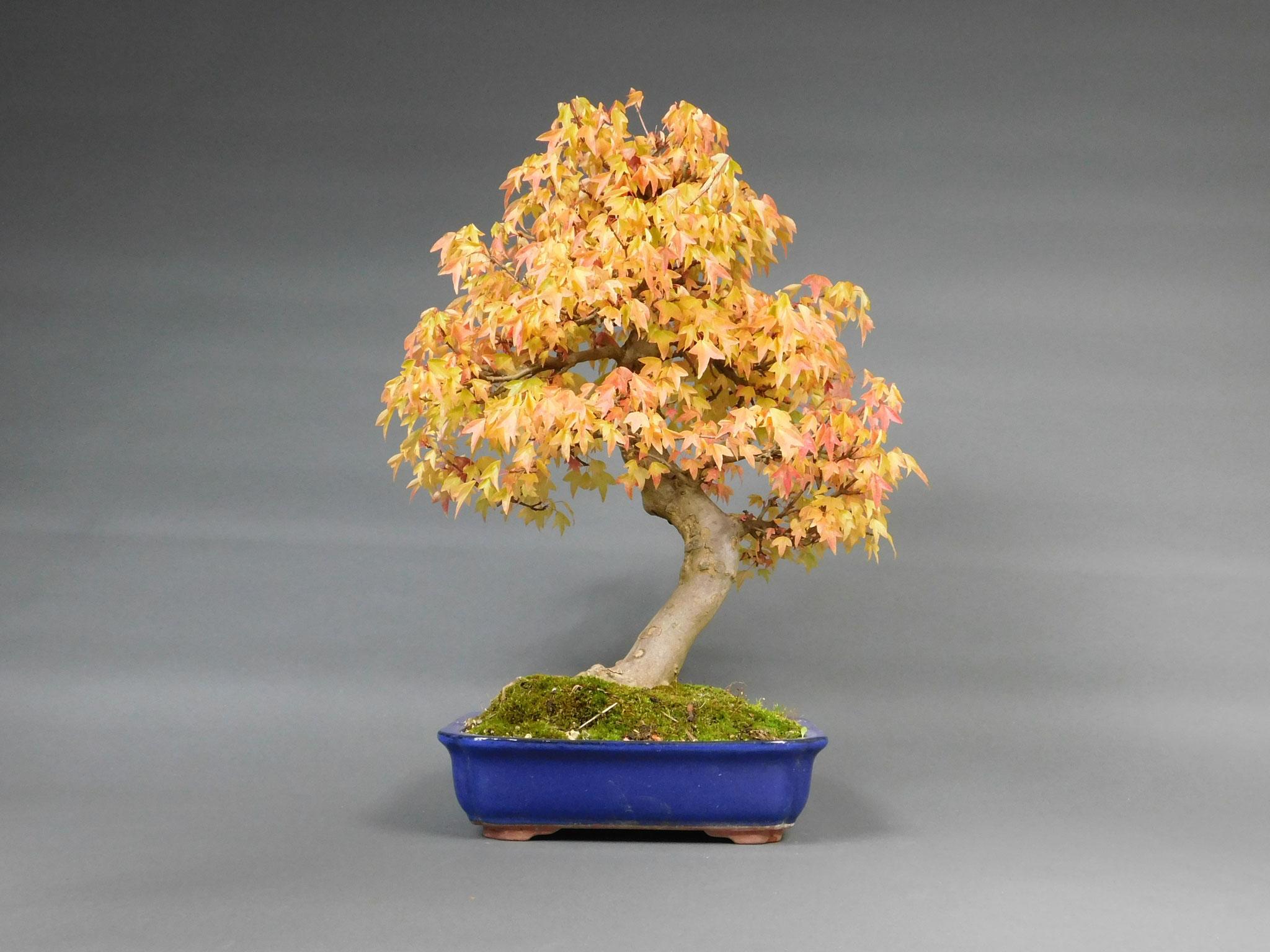 Dreispitzahorn, Acer buergerianum
