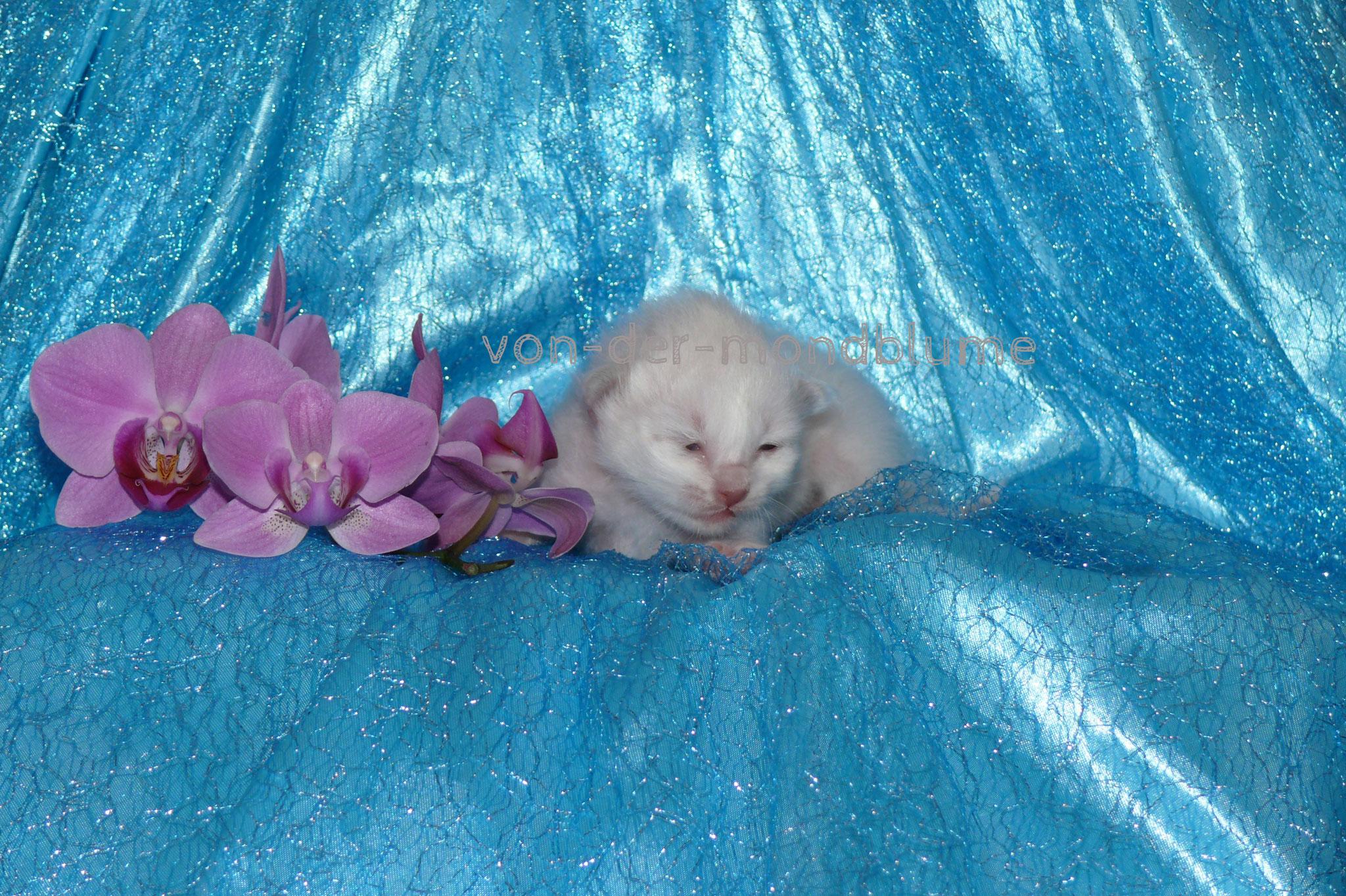 Cataleya von der Mondblume, 8 Tage alt, 185 g