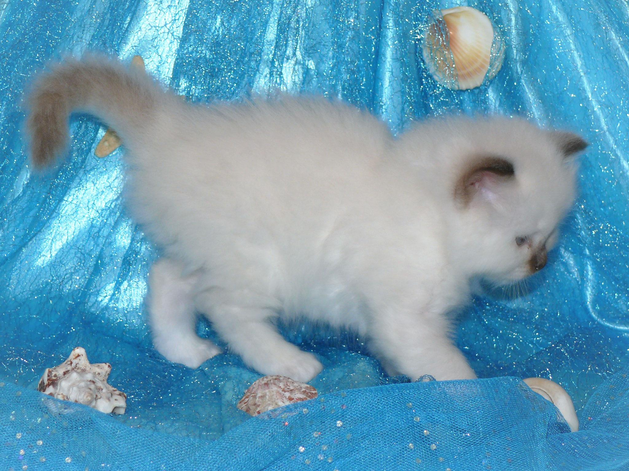 Chérie von der Mondblume, 5 Wochen alt, 515 g