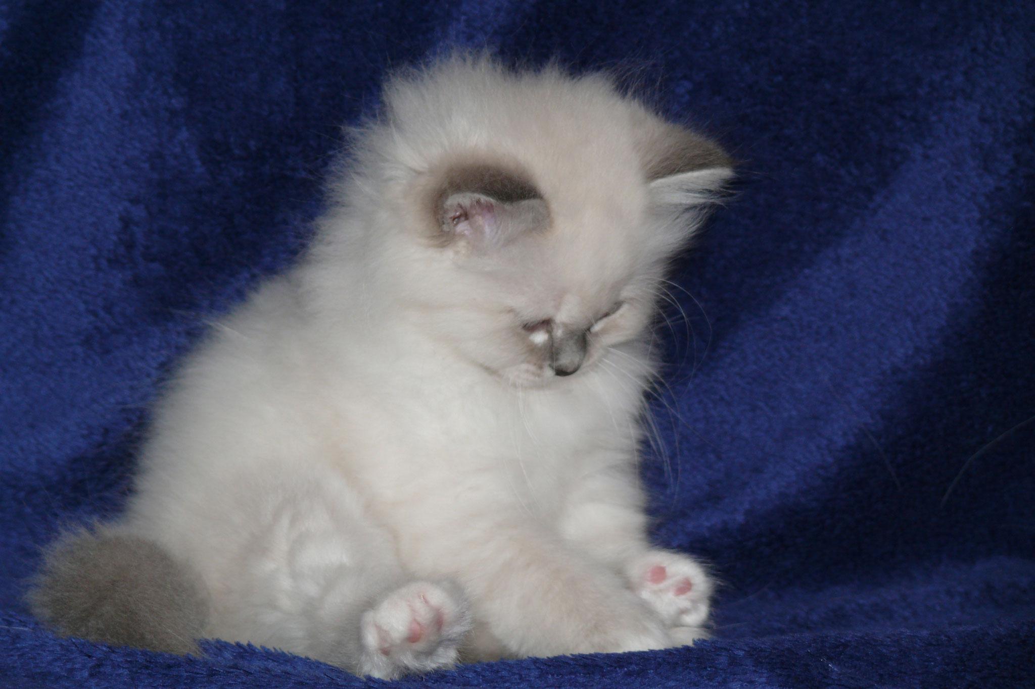 Alexis von der Mondblume, 8 Wochen alt