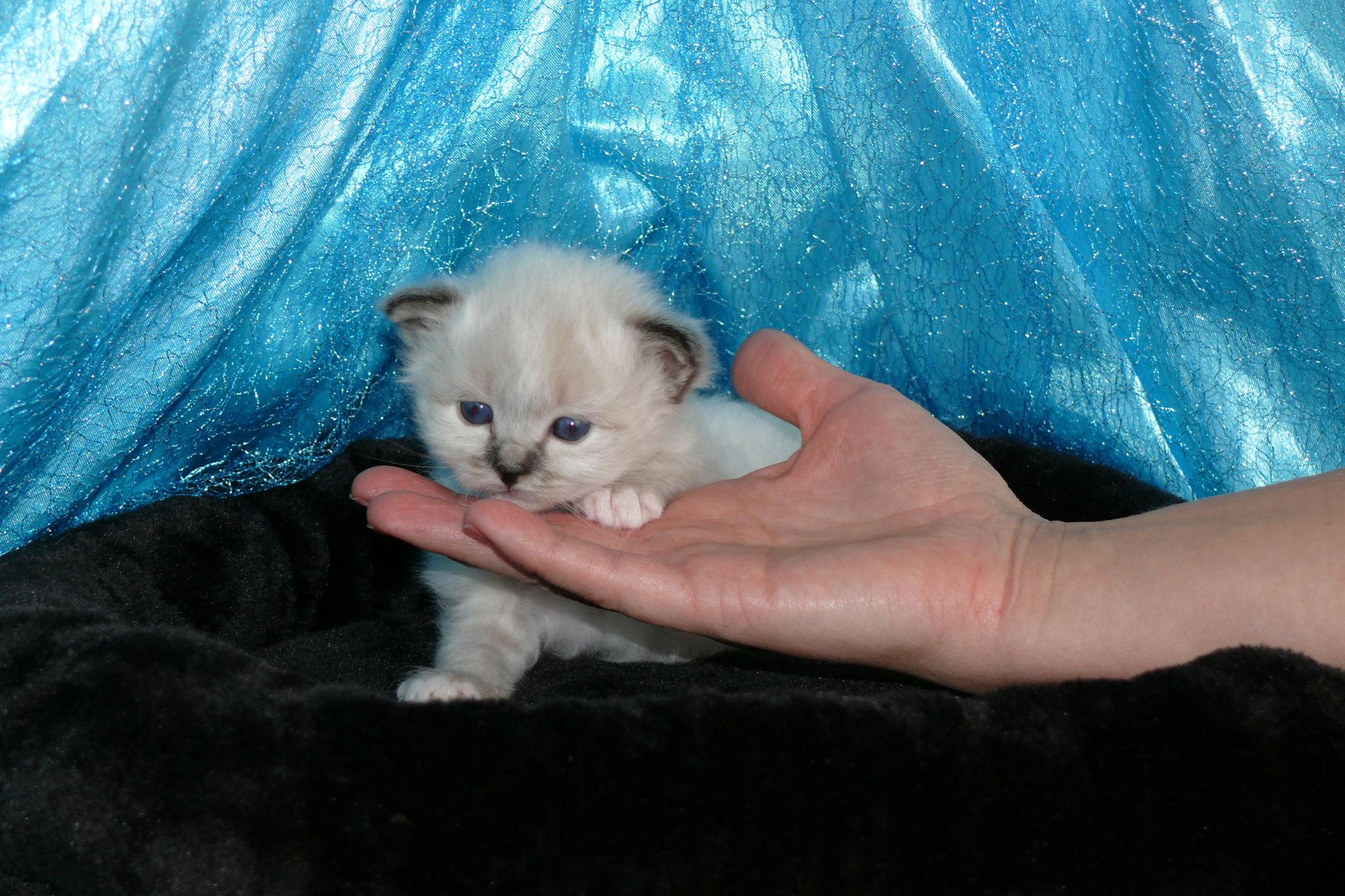 Abbey Rose von der Mondblume, 3 Wochen alt