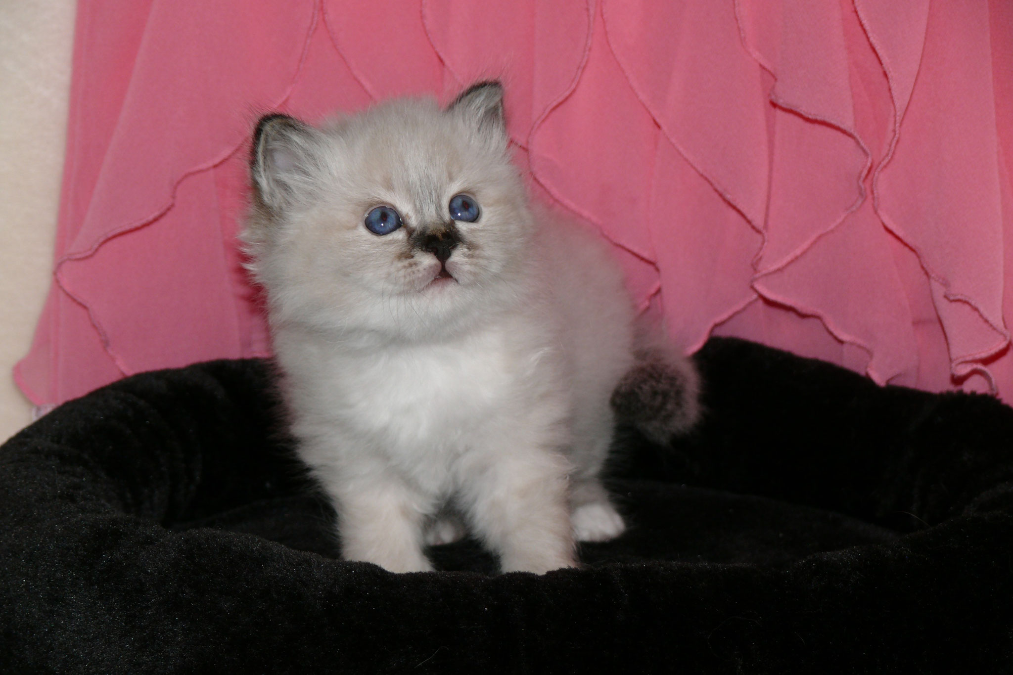 Abbey Rose von der Mondblume, 5 Wochen alt