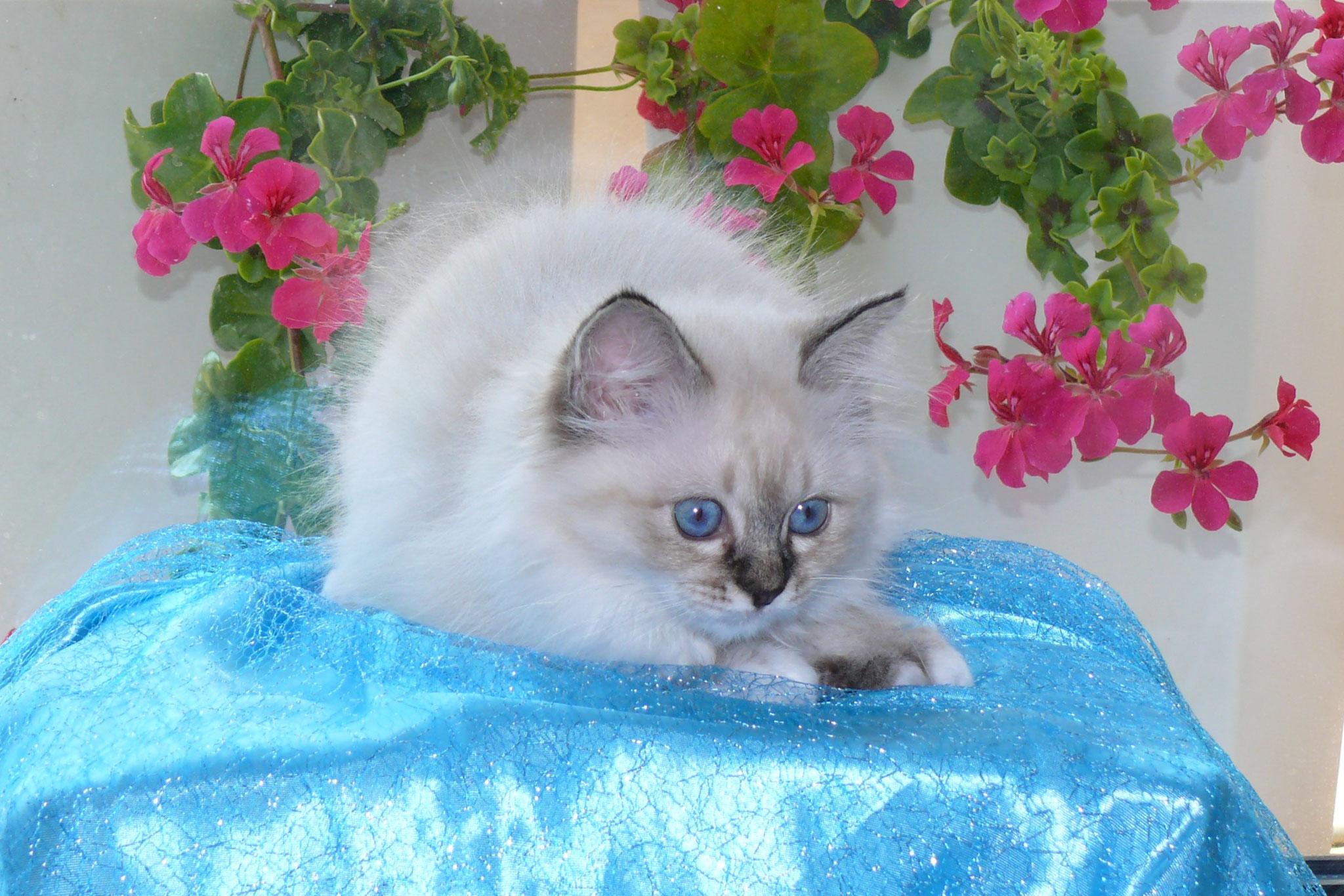 Bella von der Mondblume, 12 Wochen alt, 1114 g
