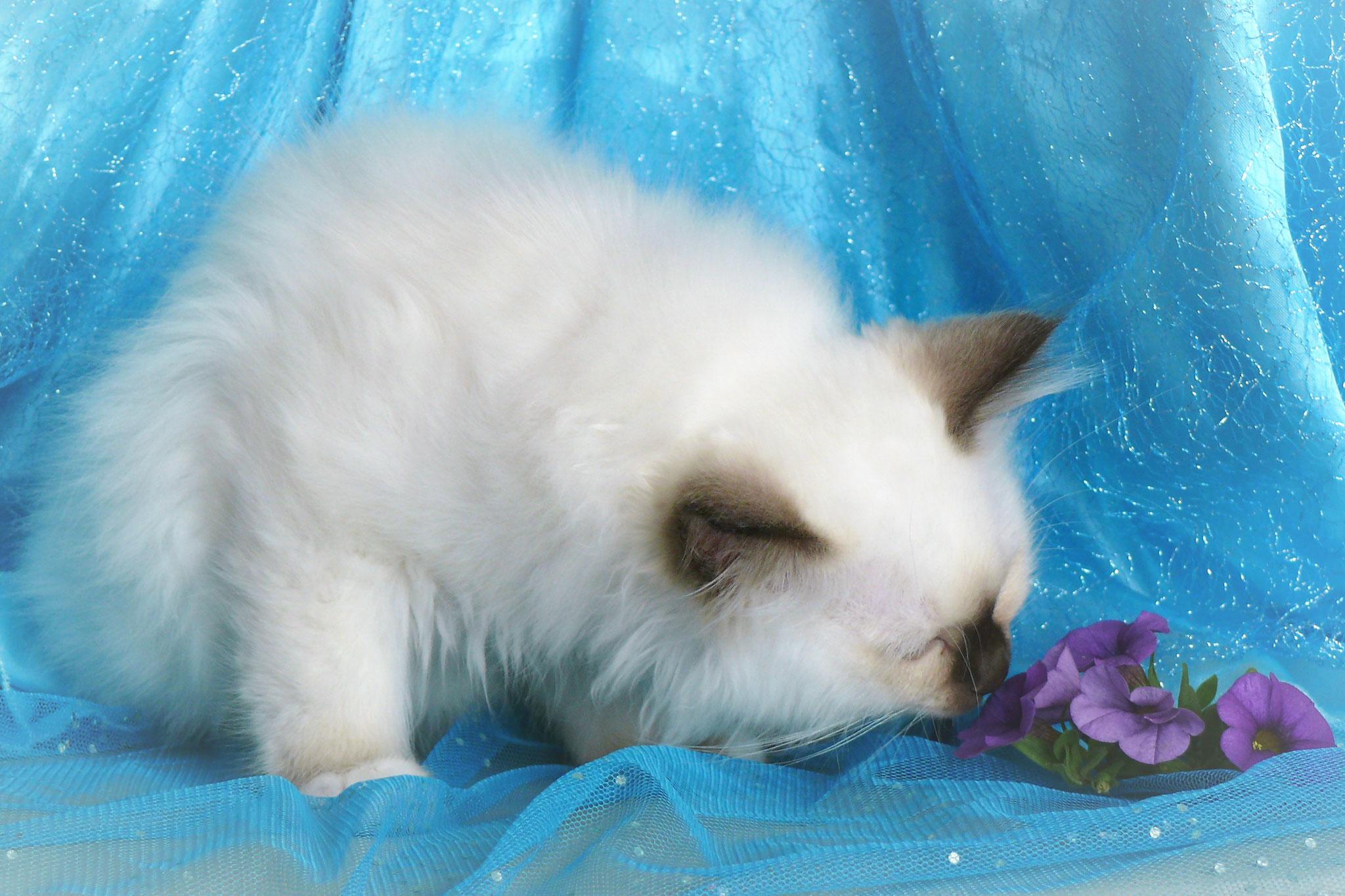 Cheyenne von der Mondblume, 11,5 Wochen alt, 1250 g