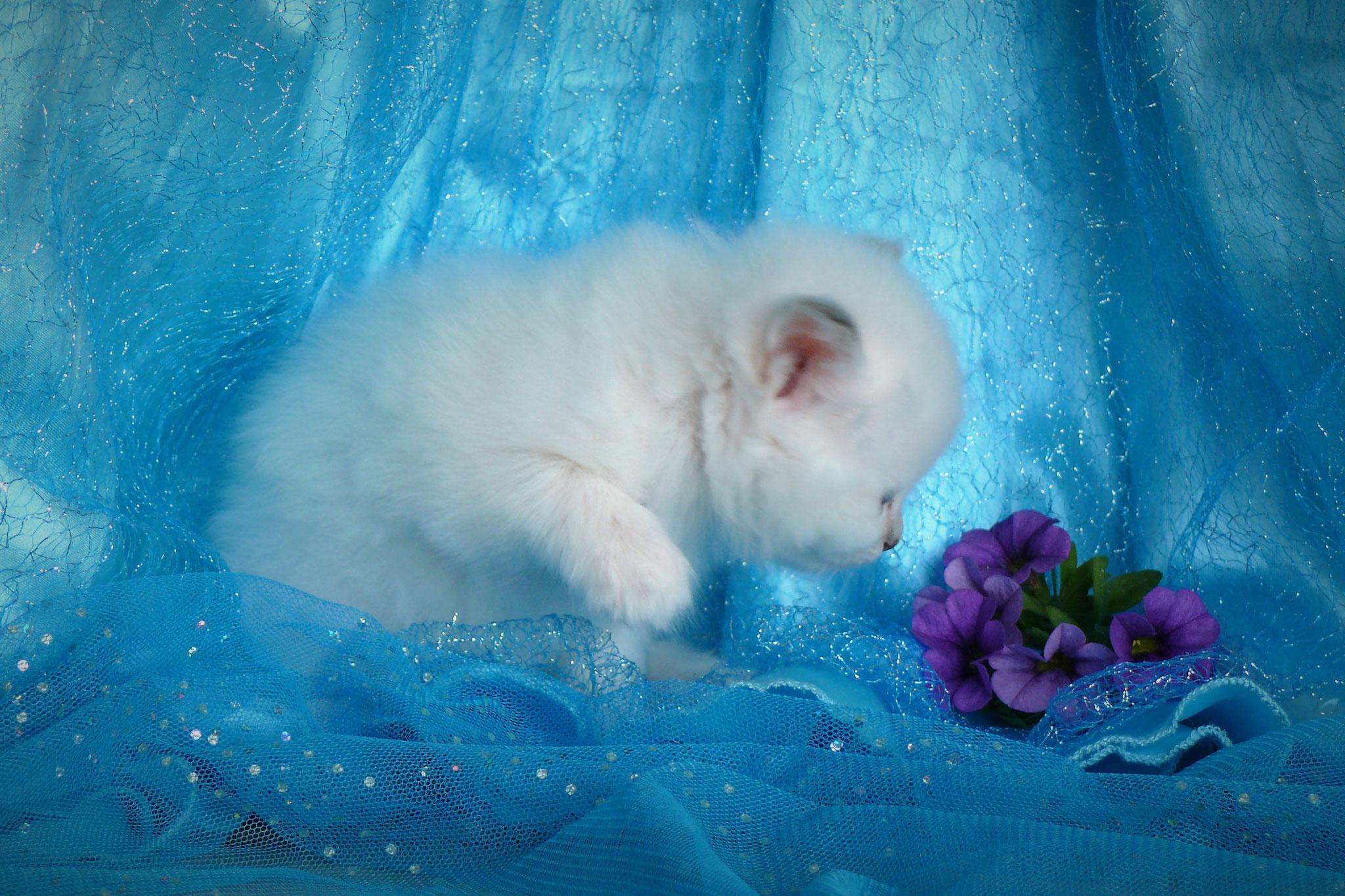 Duchesse von der Mondblume, 5 Wochen alt, 420 g