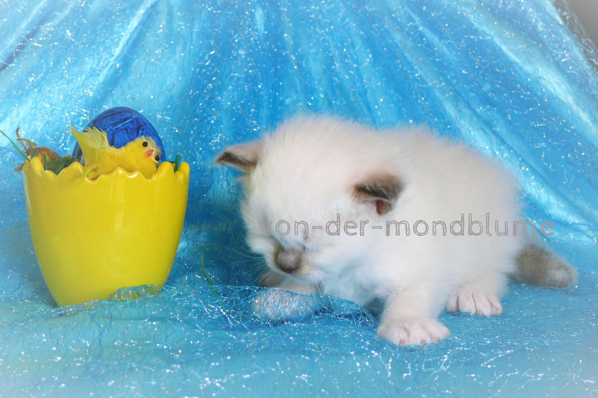 Chérie von der Mondblume, 3 Wochen alt, 355 g
