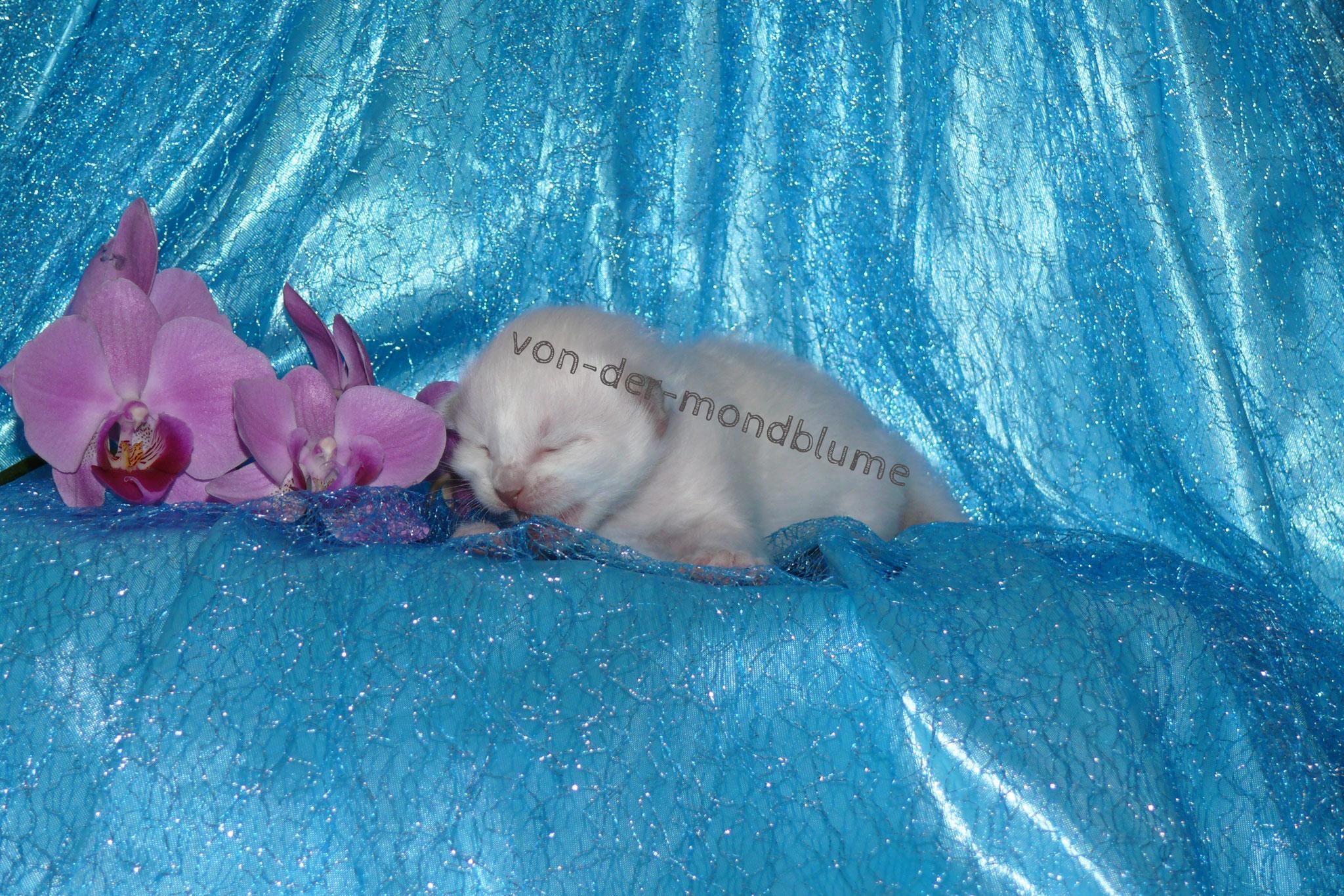 Cheyenne von der Mondblume, 8 Tage alt, 190 g