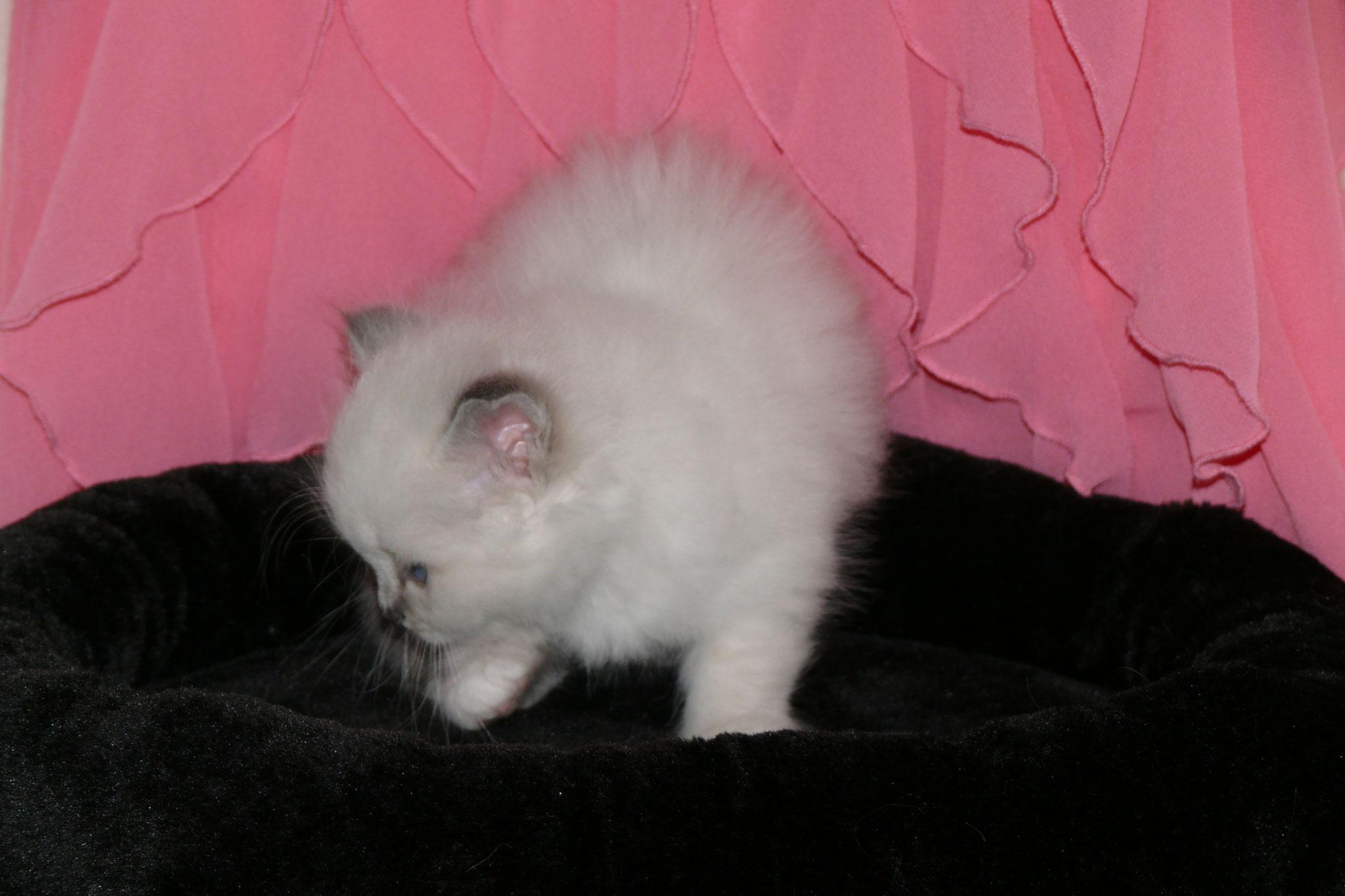 Alexis von der Mondblume, 5 Wochen alt