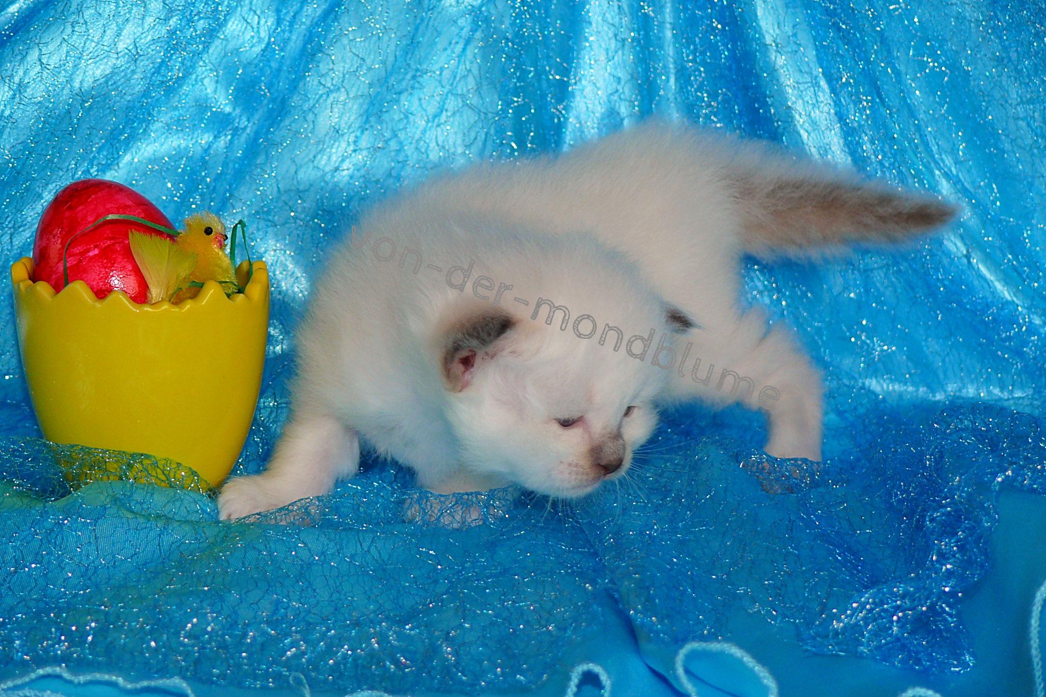 Chérie von der Mondblume, 3 Wochen alt