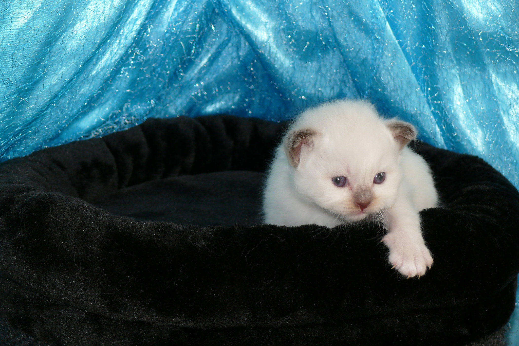 Amigo von der Mondblume 3 Wochen alt