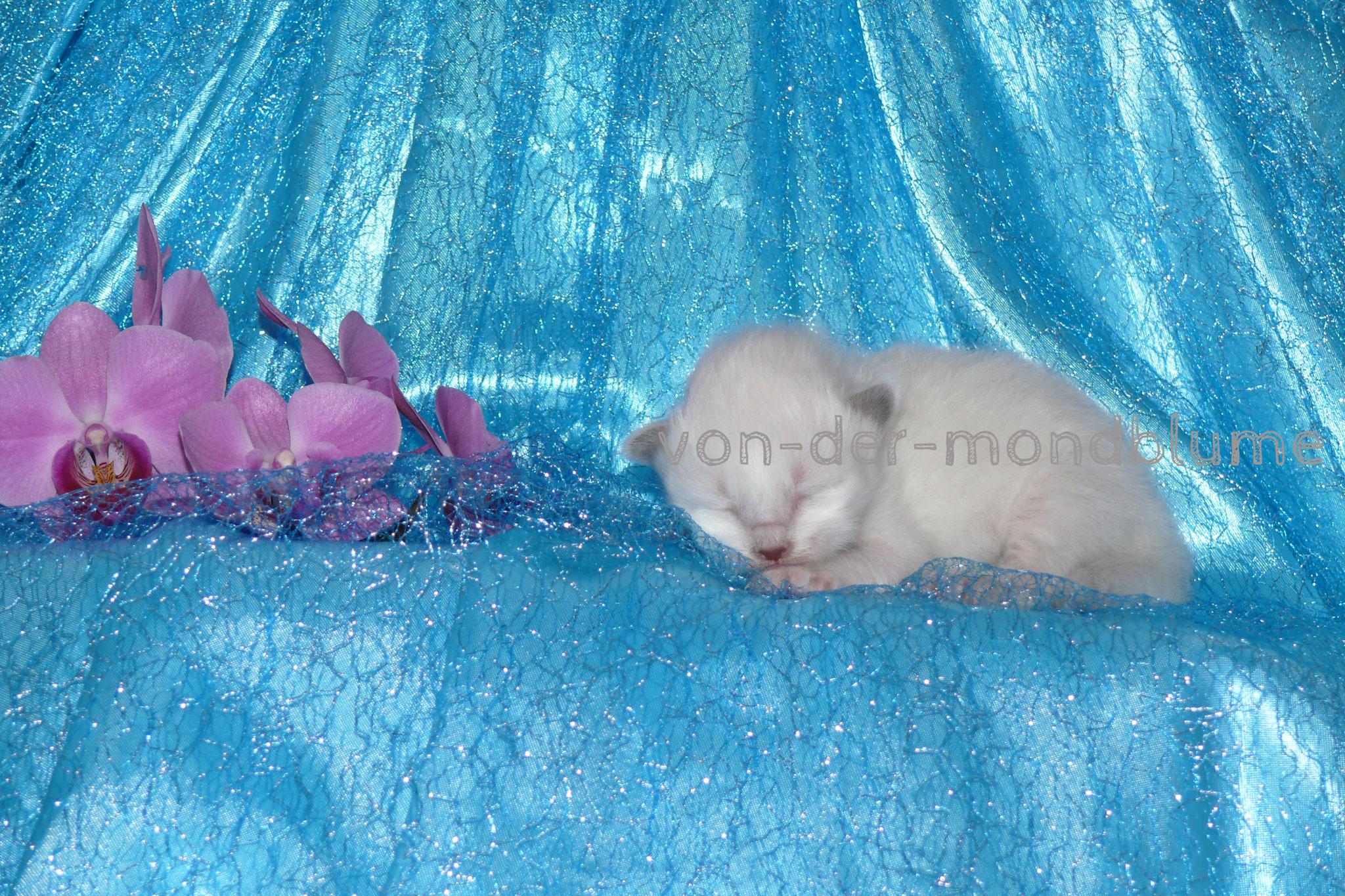 Chérie von der Mondblume, 8 Tage alt, 206 g