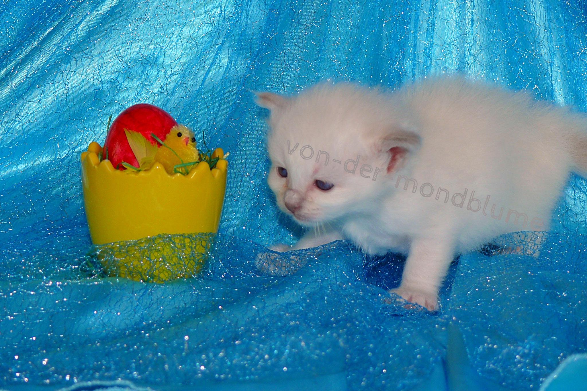 Cataleya von der Mondblume, 3 Wochen alt