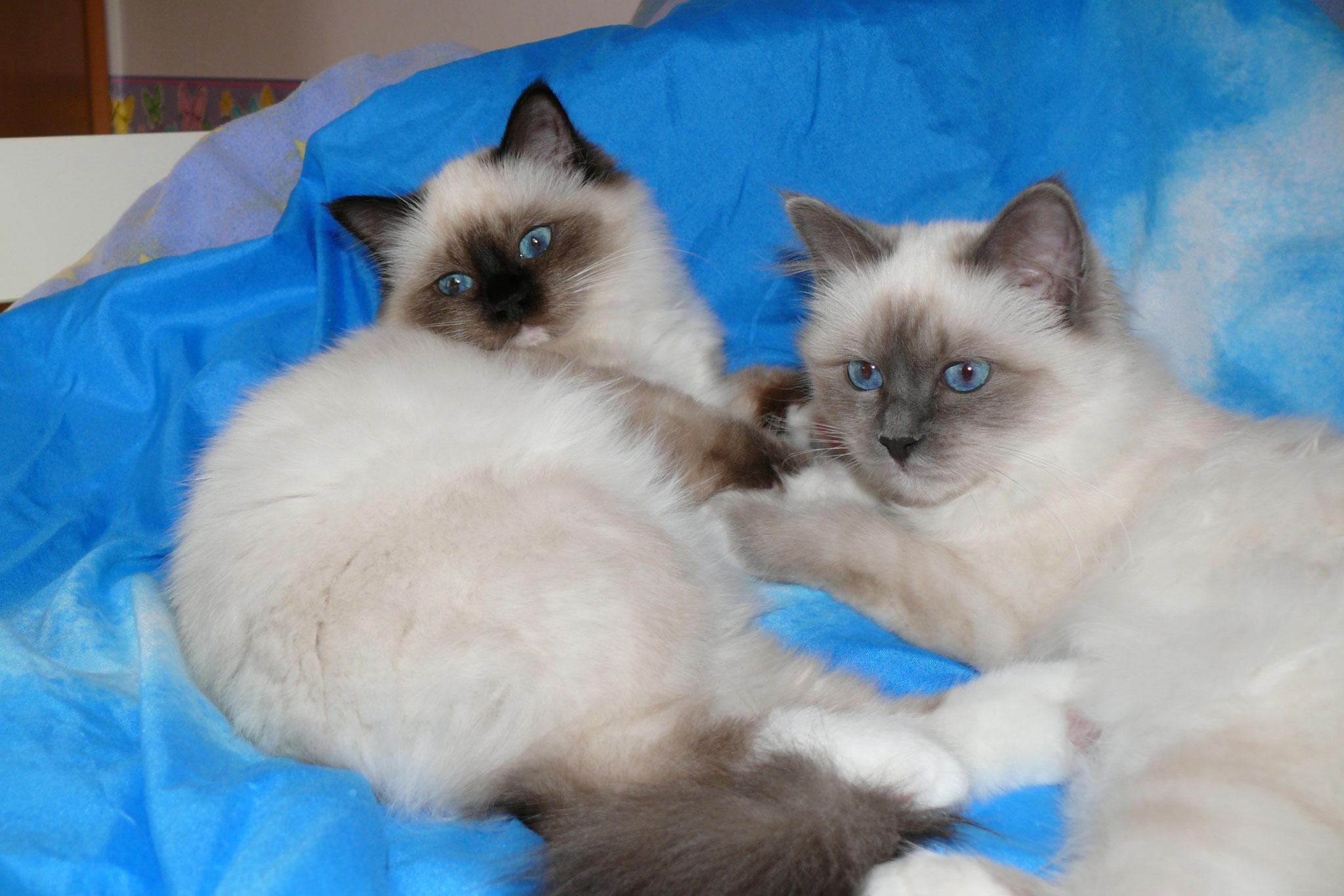 Tookie vom Lilienweg mit ihrem Schwesterheerz Tamia vom Lilienweg, 5 Monate alt