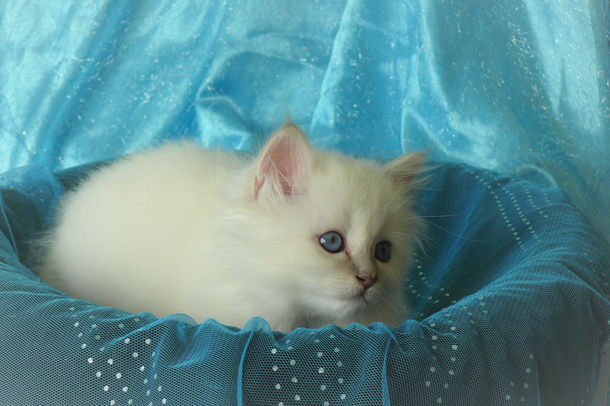Duchesse von der Mondblume, 8 Wochen alt, 760 g