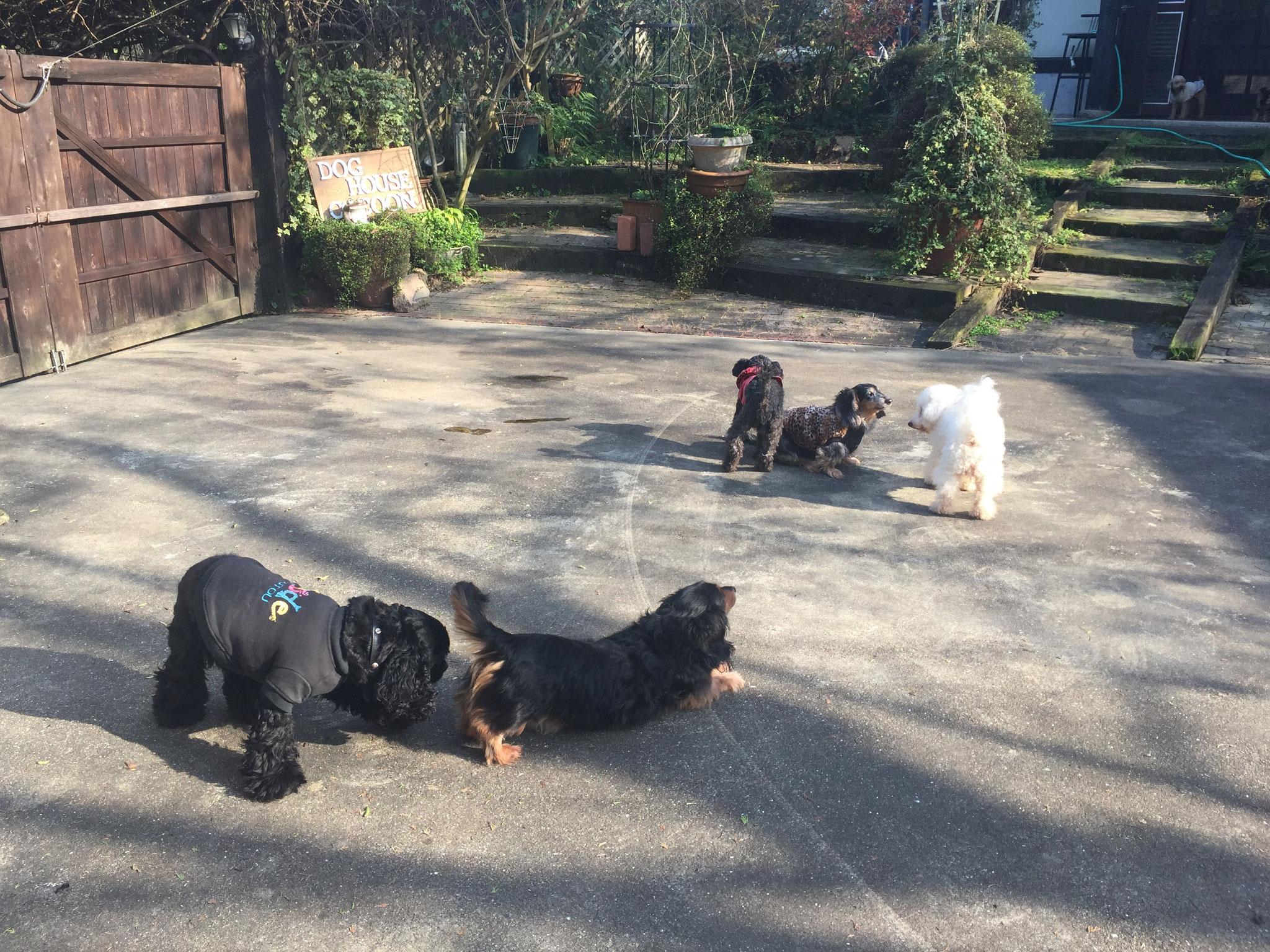 当宿の小型犬たちが、お庭で遊んでいます。