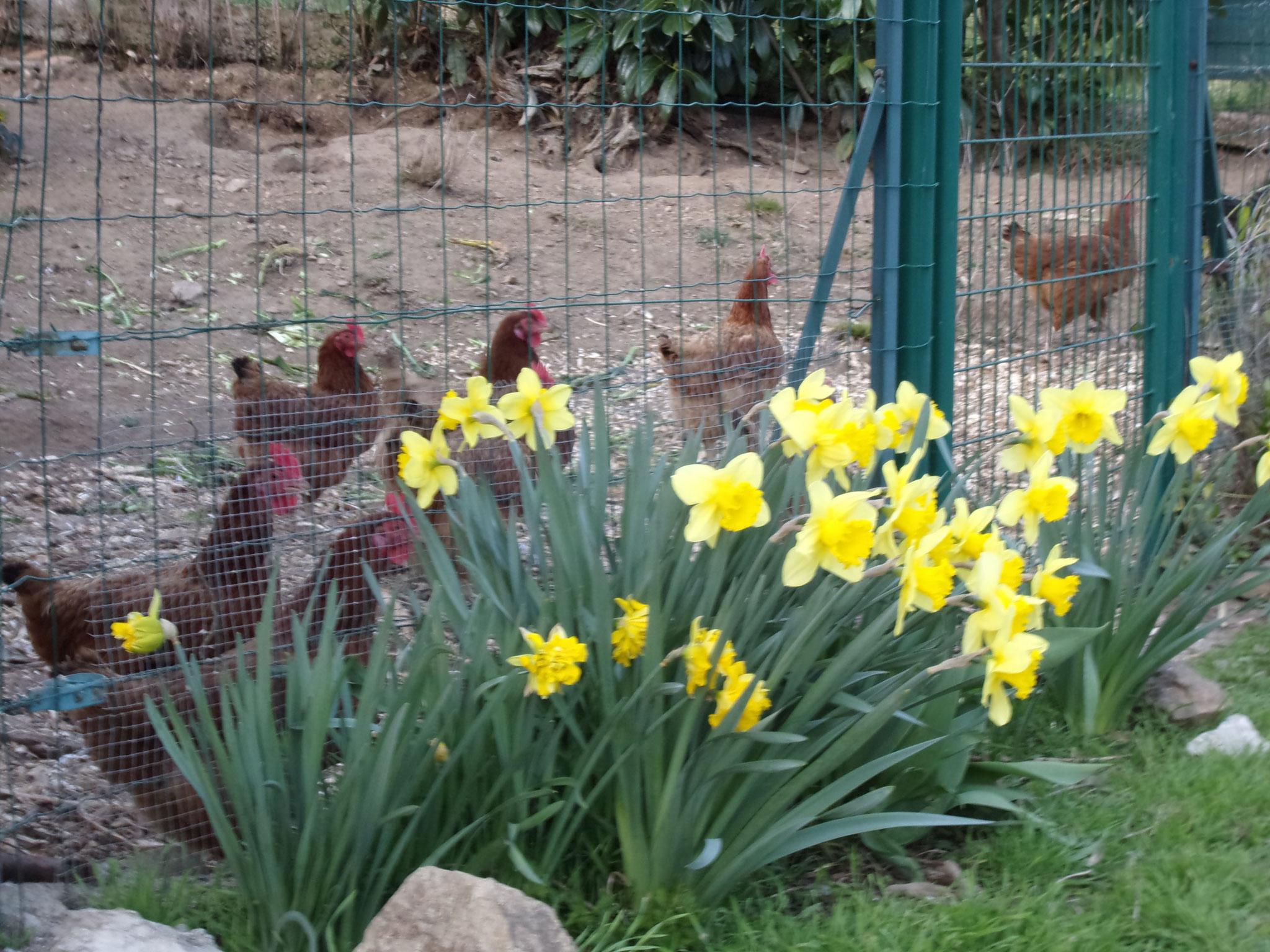 La brigade de poules