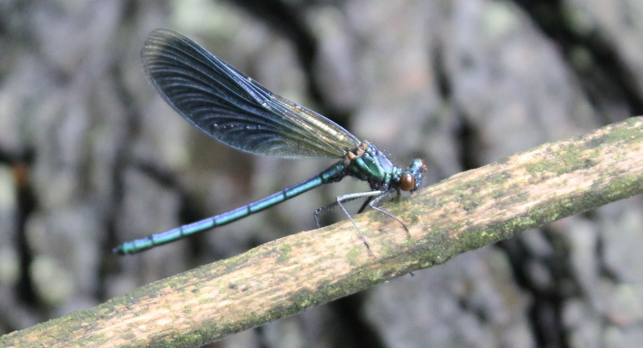 Männchen der Gebänderten Prachtlibelle (Calopteryx splendens) an der Alster.