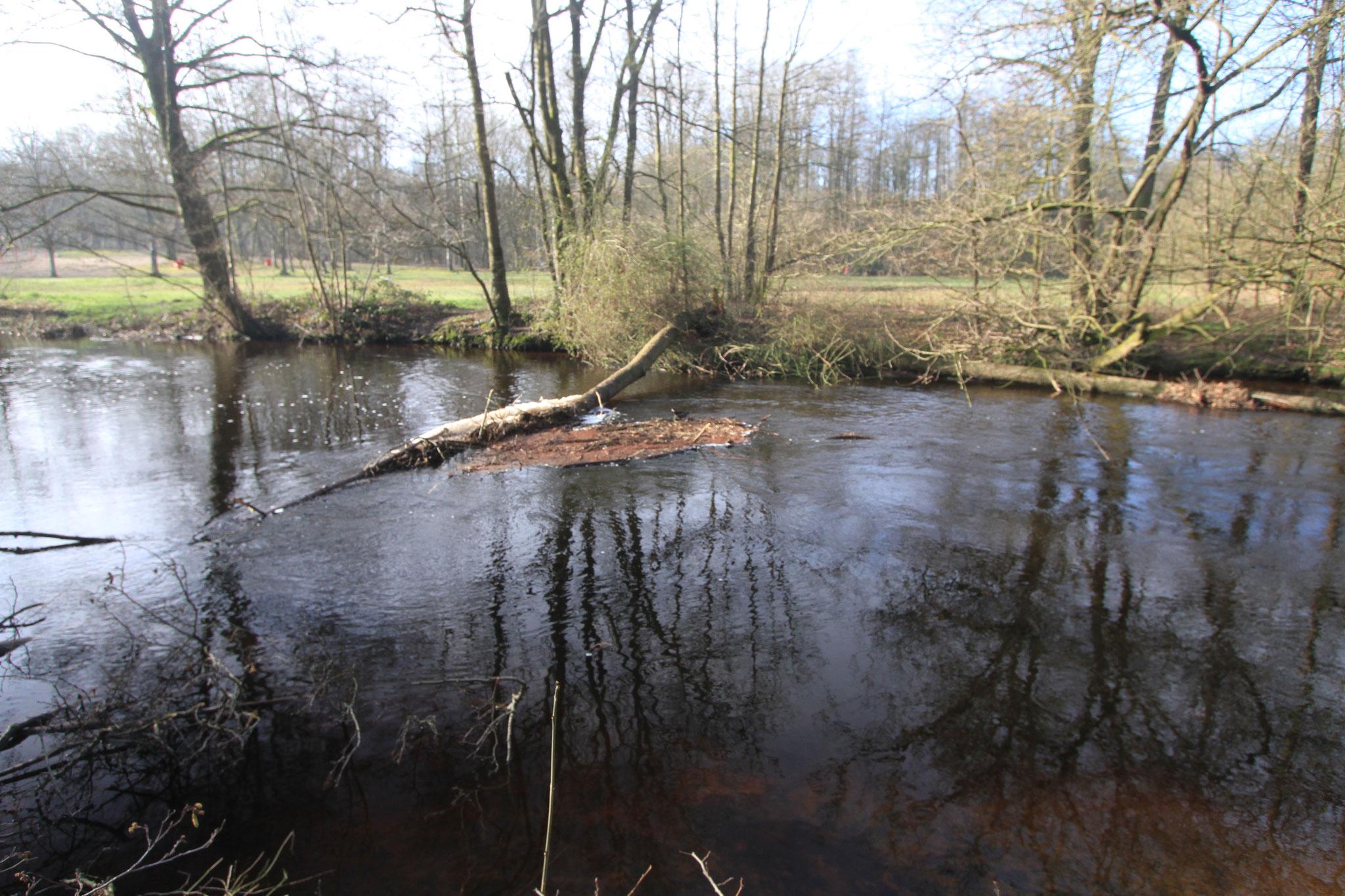 Auch auf Höhe des Teetzparks sind Erlen in die Alster gefallen (Foto: A. Lampe).