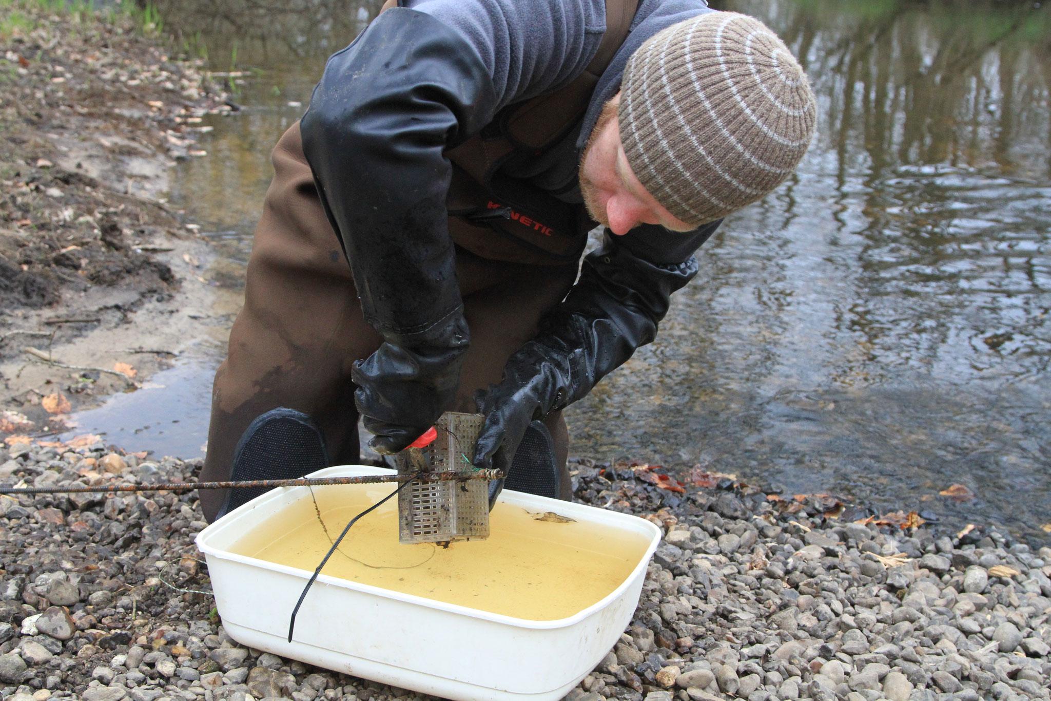 Im Frühjahr 2018 wurden die auf ausgewählten Kiesbänken platzierten Brutboxen mit Forelleneiern kontrolliert (Foto: A. Lampe).
